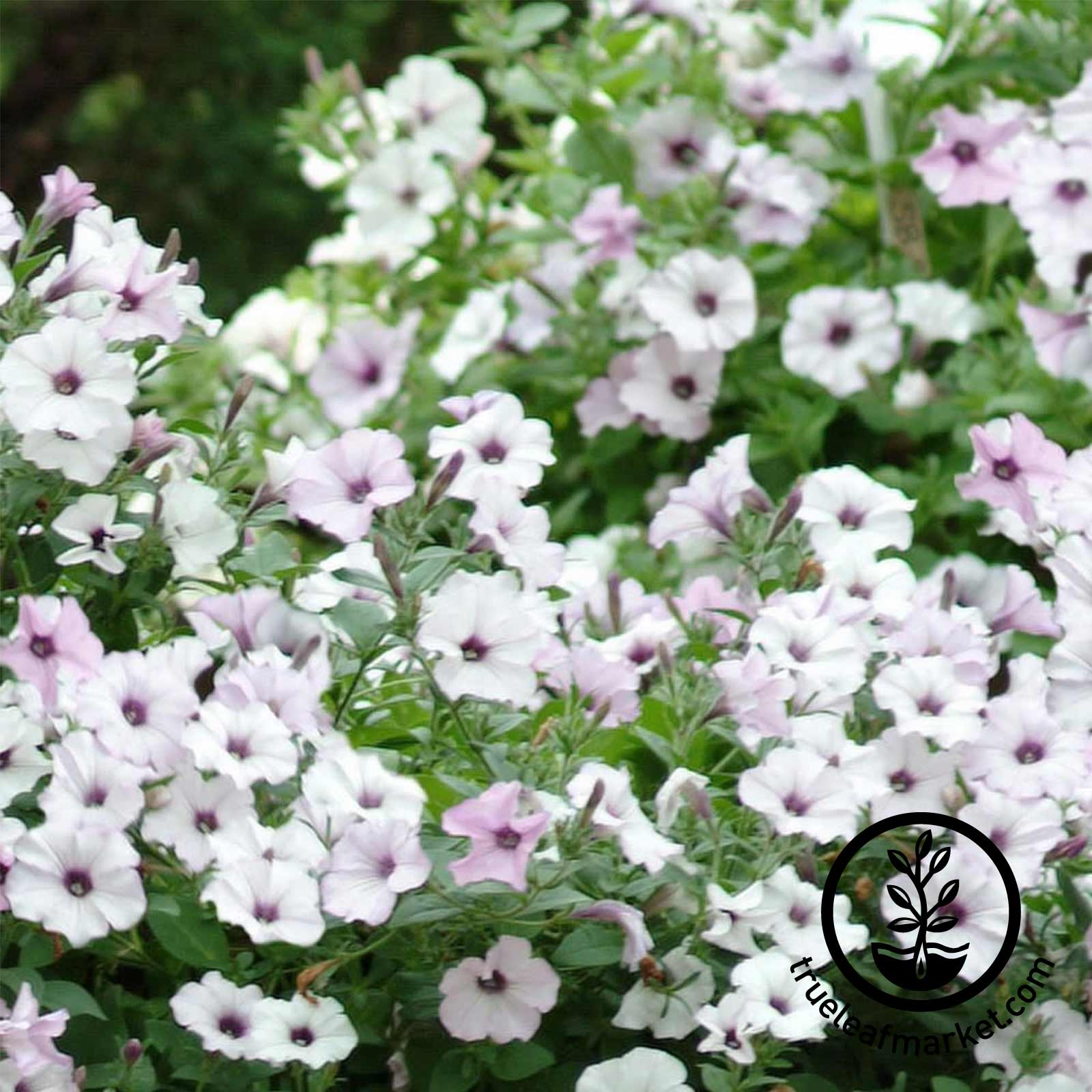 Petunia - Tidal Wave Series (pelleted) - Silver