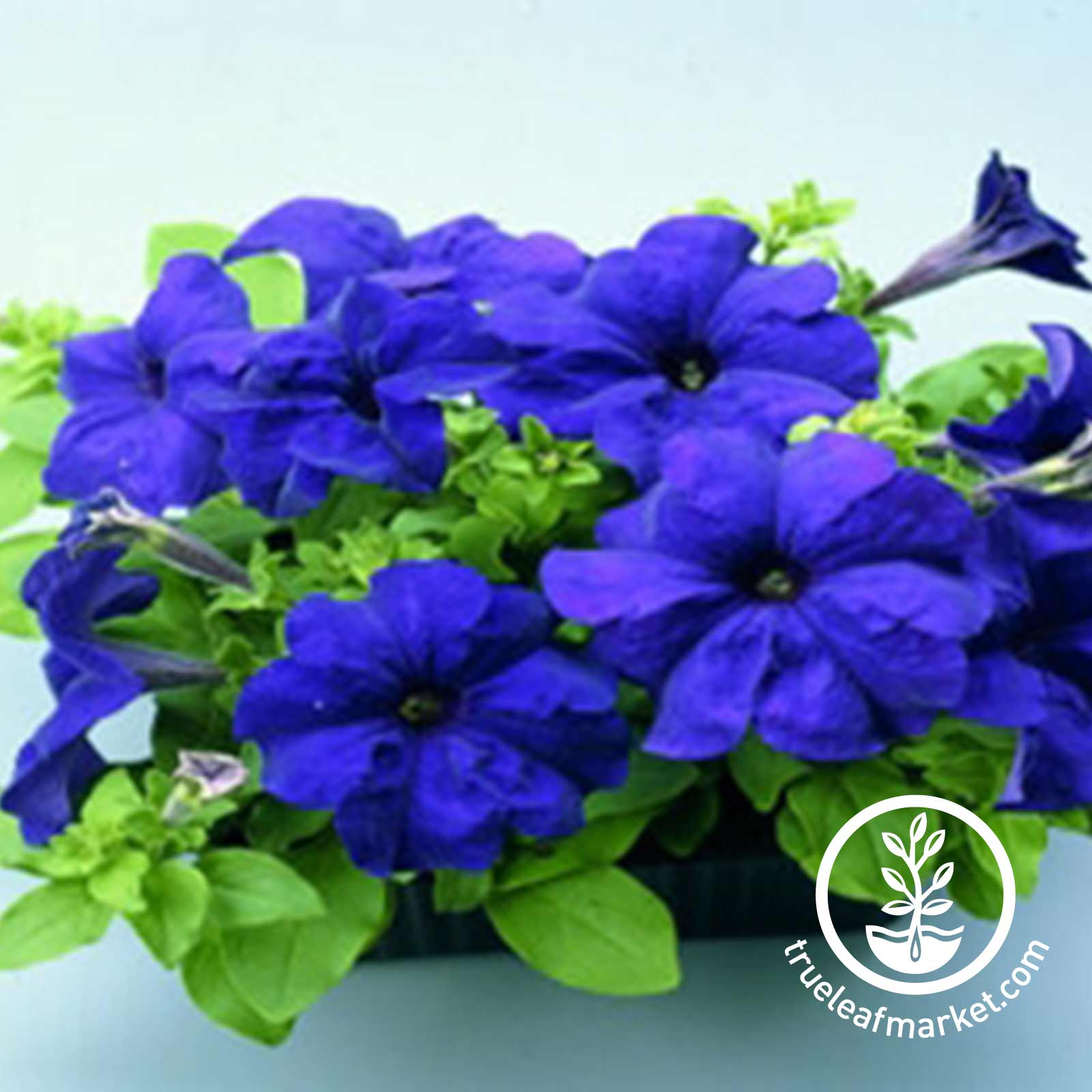 Petunia Ultra Series pelleted Lilac Seed