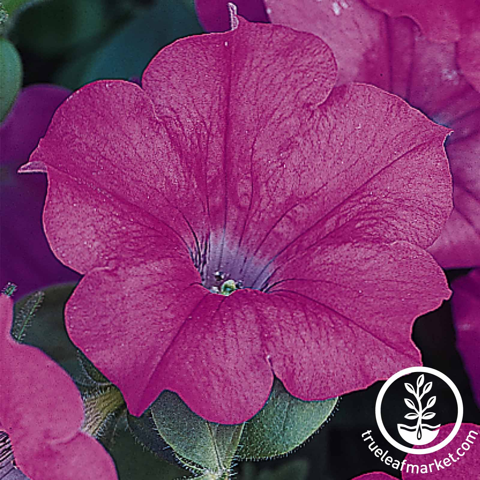 Petunia Wave Series pelleted Lavender Seed