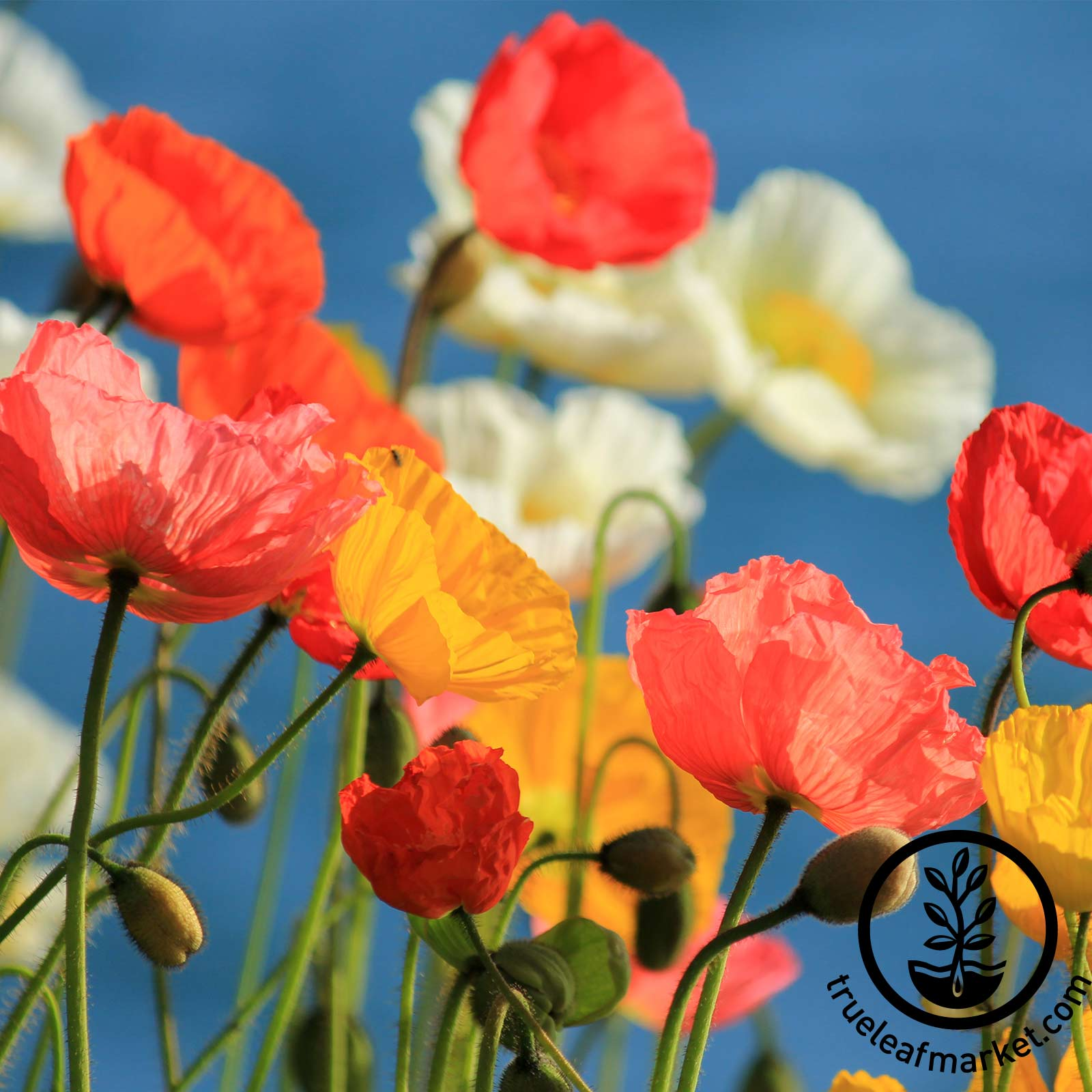Poppy California Mission Bells Seed