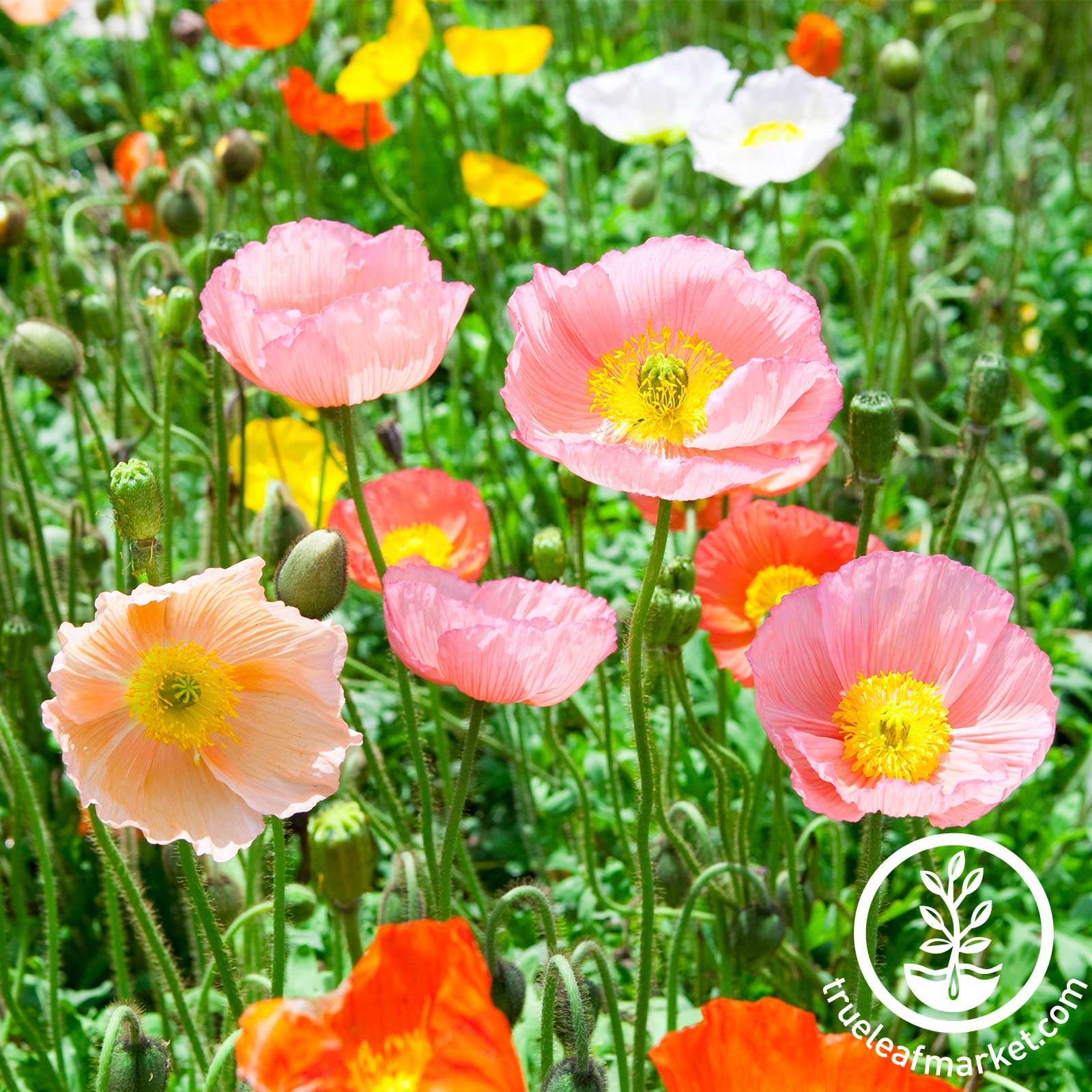 Poppy Iceland Champagne Bubbles Mix Seed