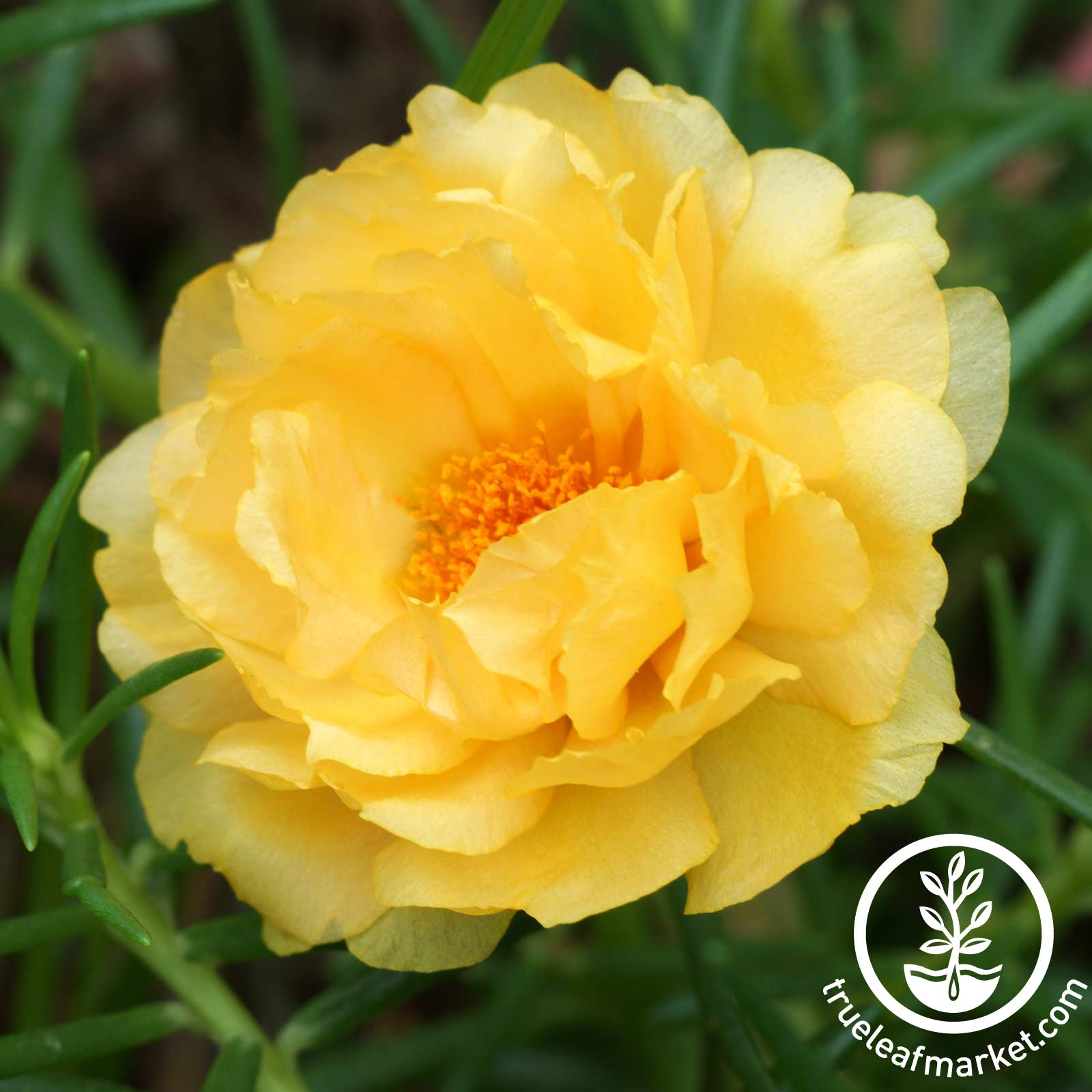 Portulaca Sundial Series Gold Seed