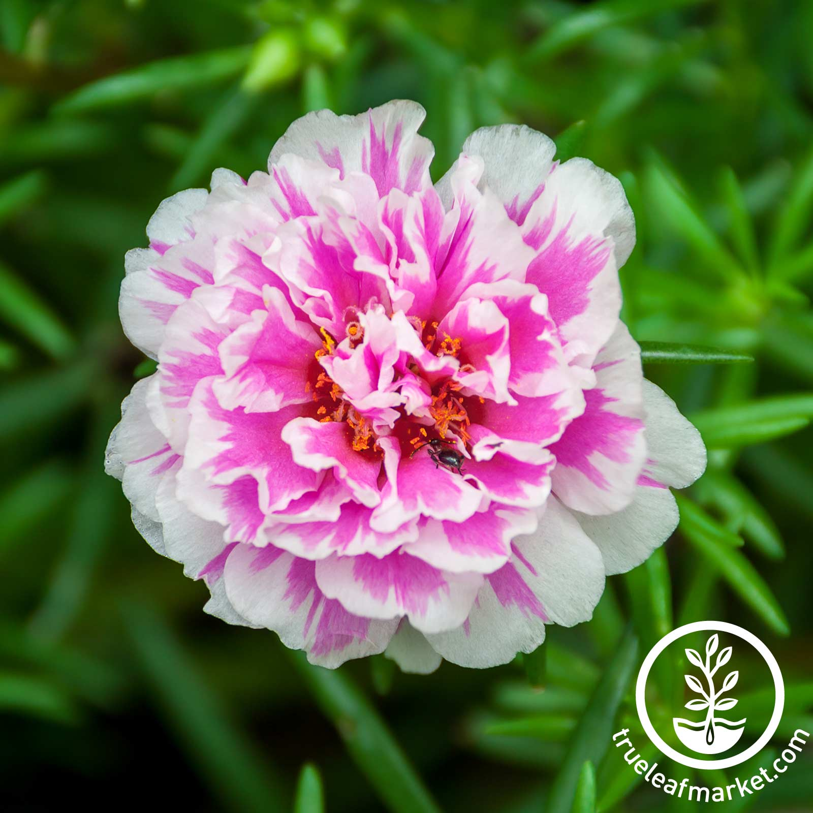 Portulaca Sundial Series Peppermint Seed