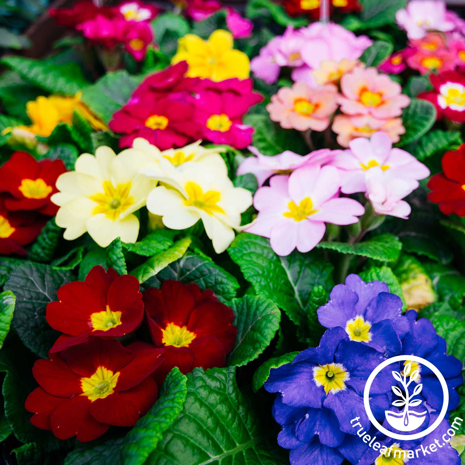 Primula Super Nova Mix Seed