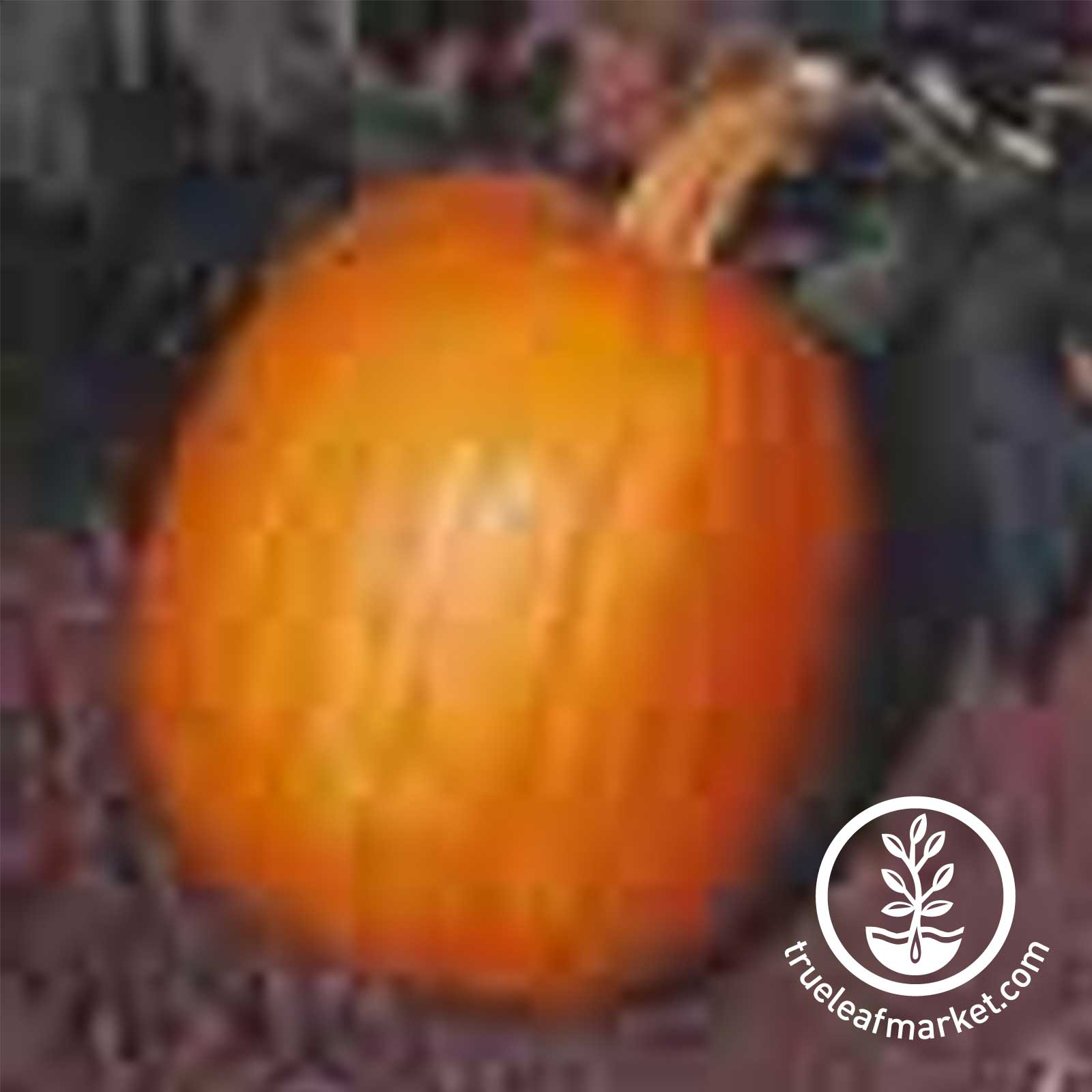 Pumpkin Autumn Gold Hybrid treated Seed