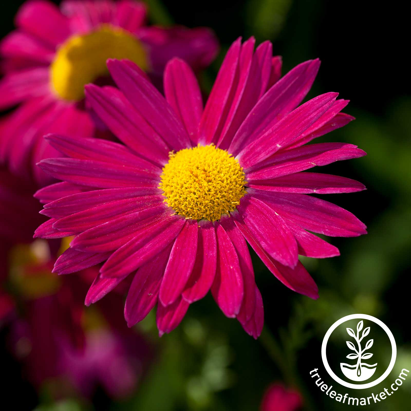 Pyrethrum Painted Daisy James Kelway Seed
