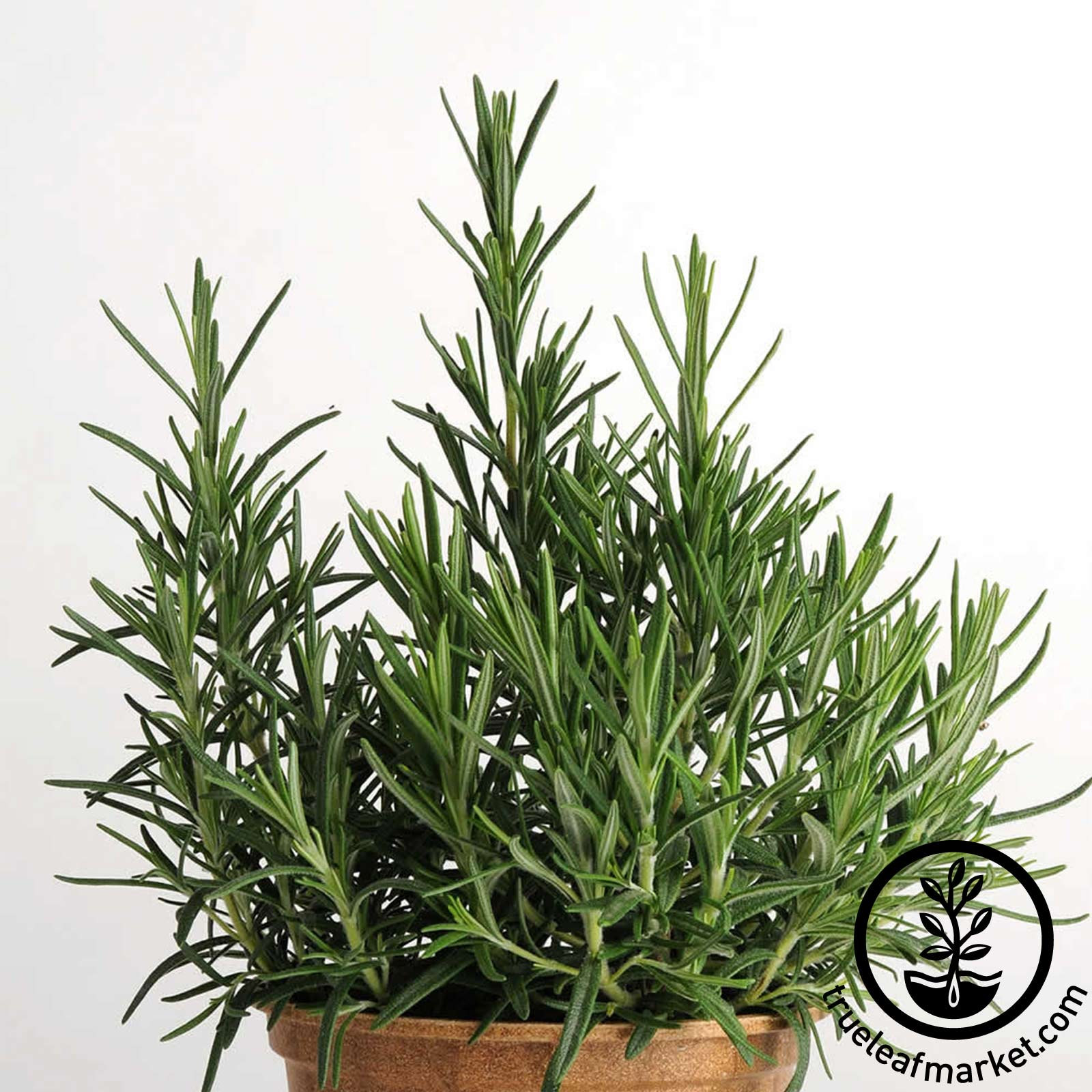 Rosemary Herb Growing Seeds