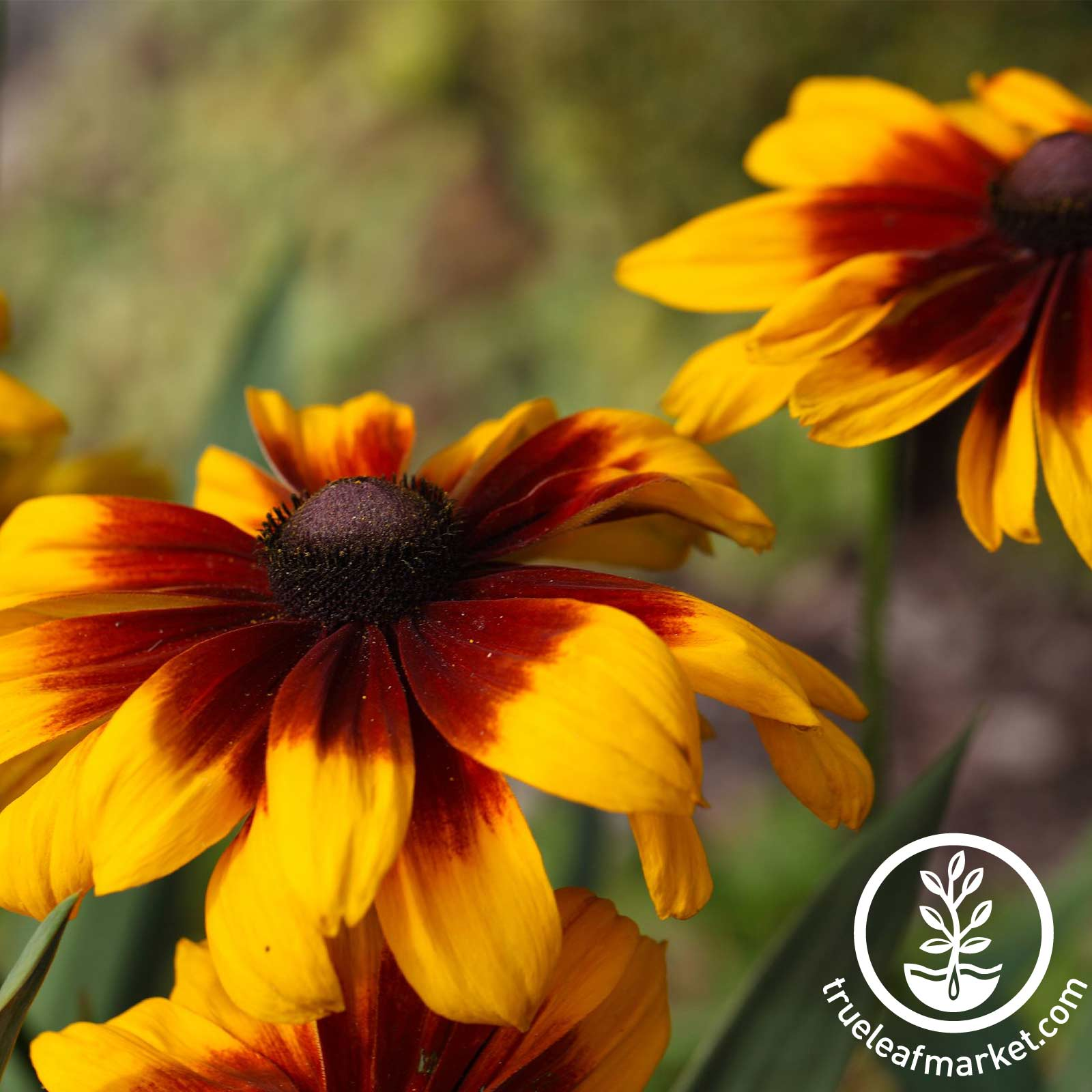 Rudbeckia Becky Series Mix Seed