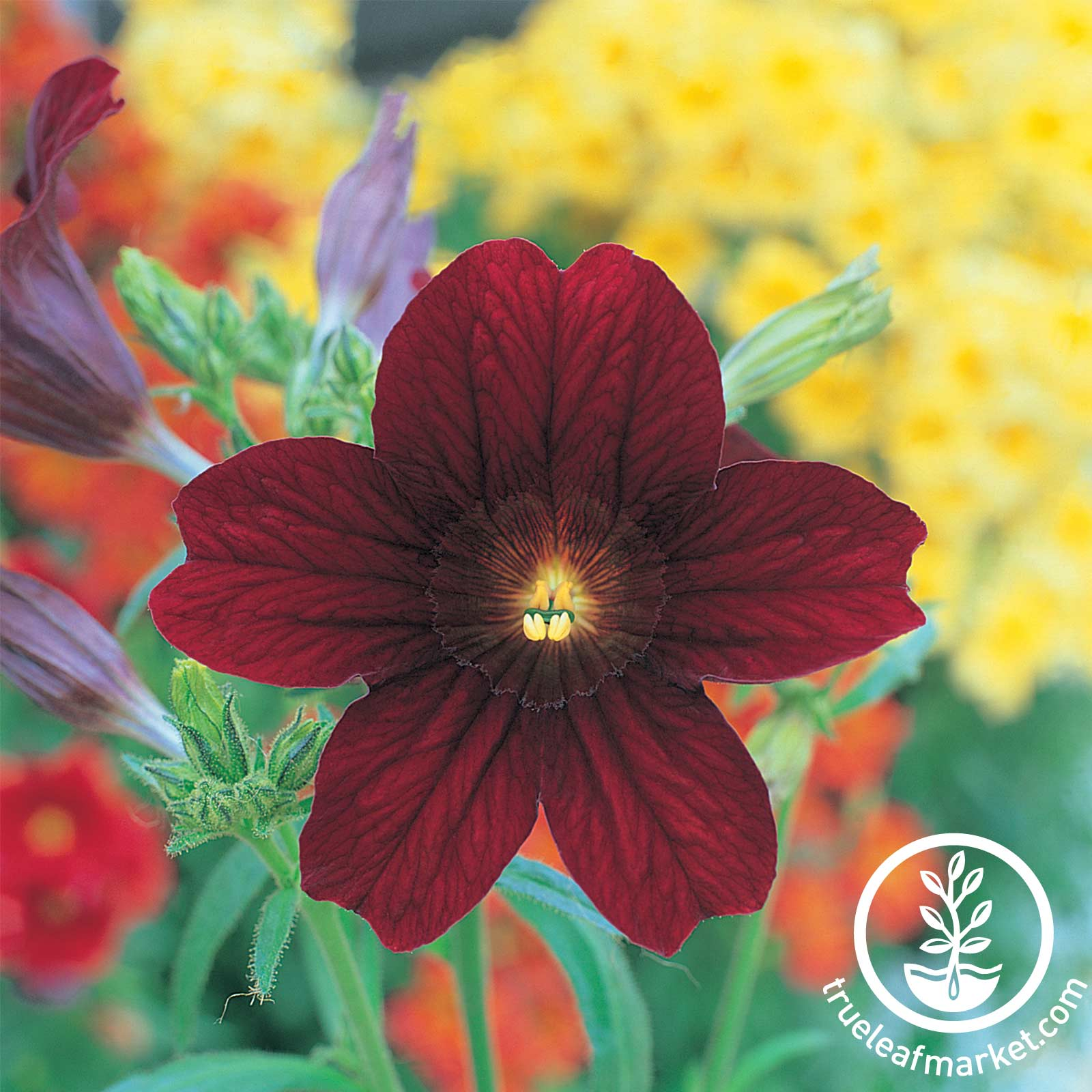 Salpiglossis - Royale Series - Chocolate Chocolate Salpiglossis seeds, Royal Series, flower seeds