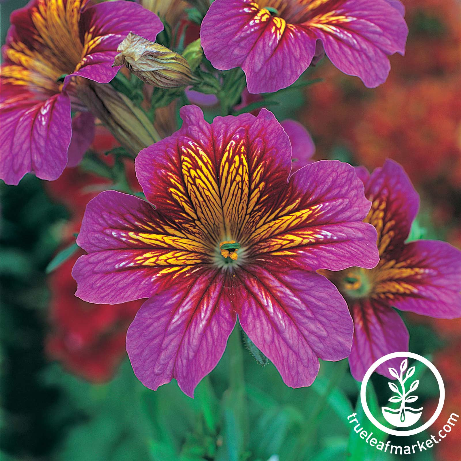 Salpiglossis - Royale Series - Purple Bicolor Purple Bicolor Salpiglossis seeds, Royal Series, flower seeds