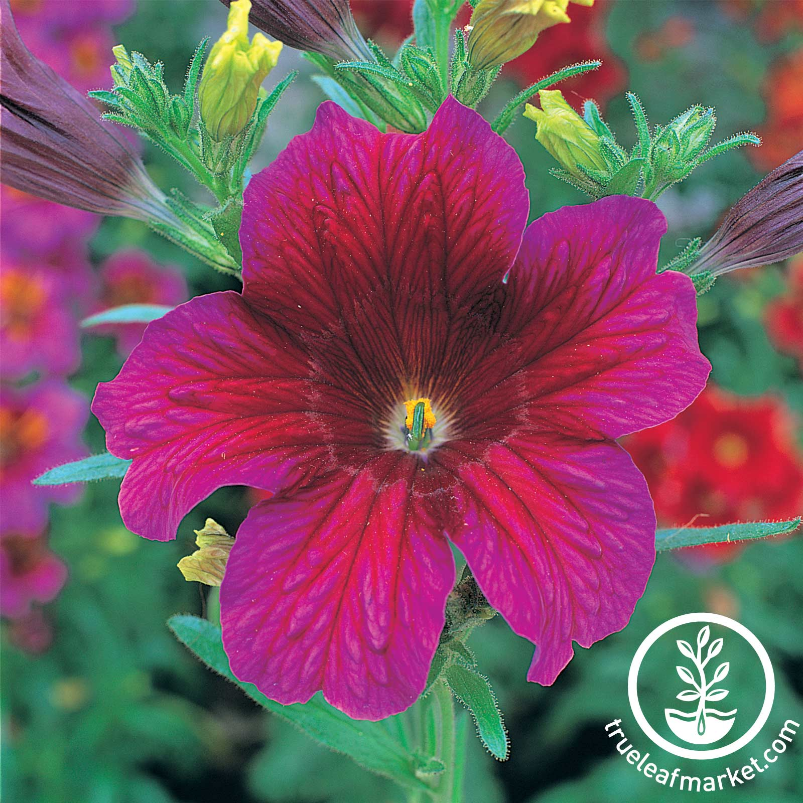 Salpiglossis - Royale Series - Purple Purple Salpiglossis seeds, Royal Series, flower seeds