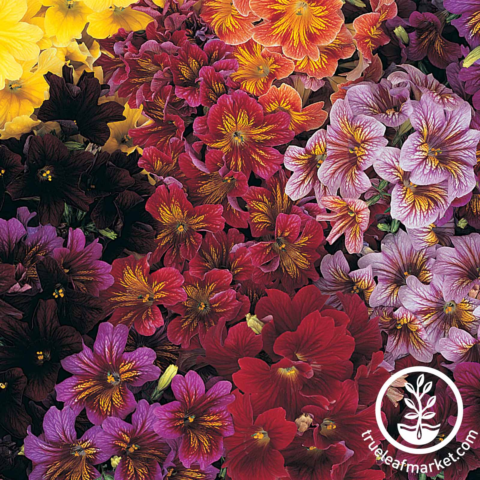 Salpiglossis Royale Series Mix Seed