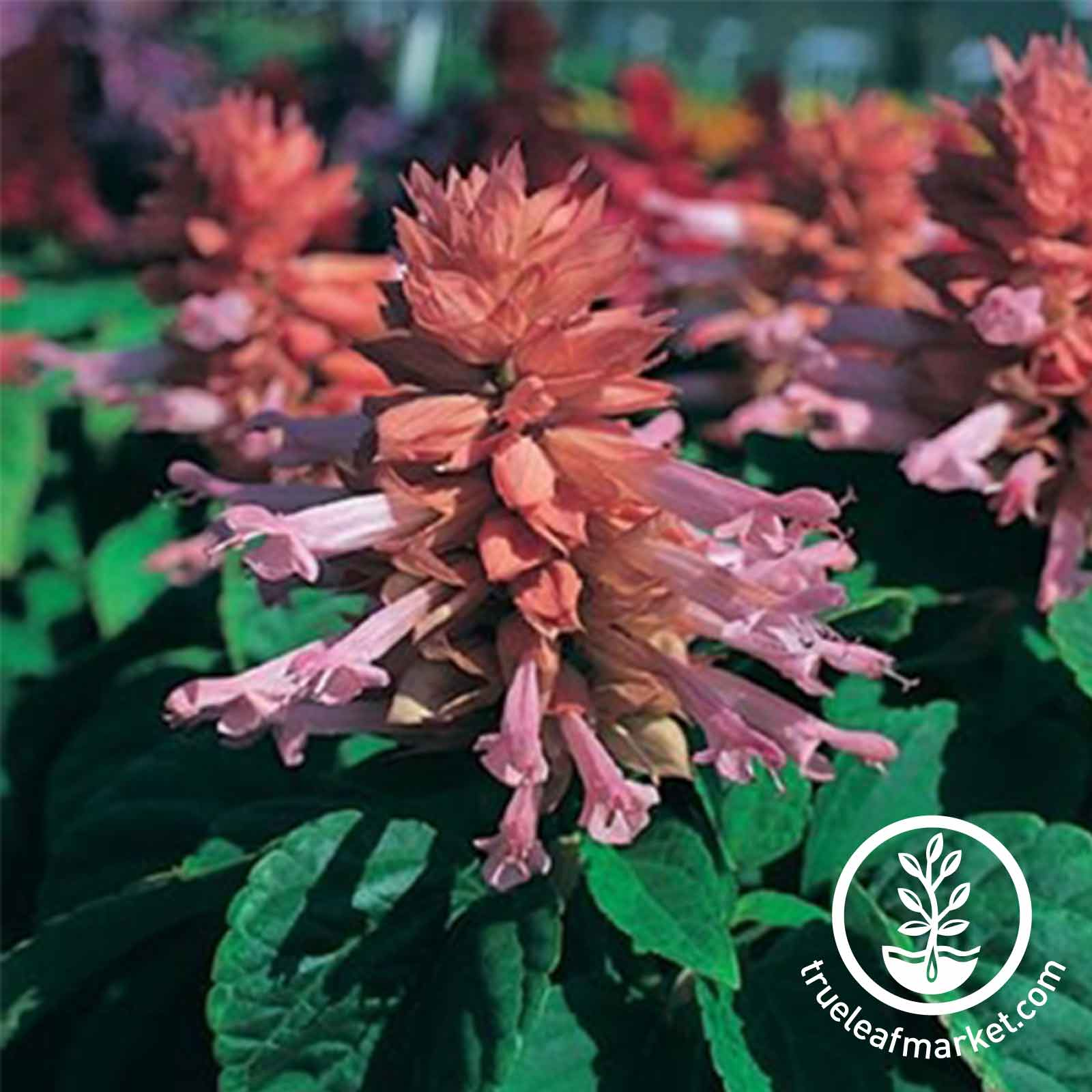 Salvia Sizzler Series Pink Seed
