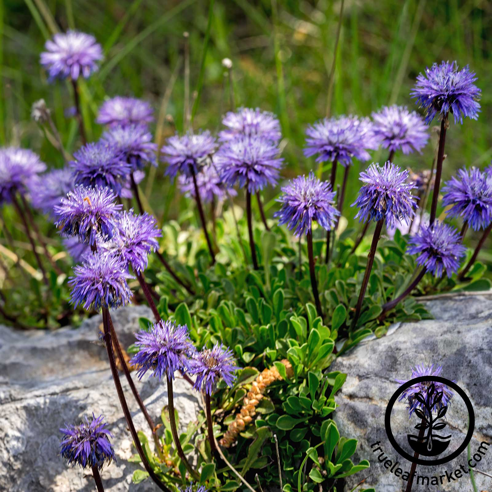 Scabiosa Blue Note Seed
