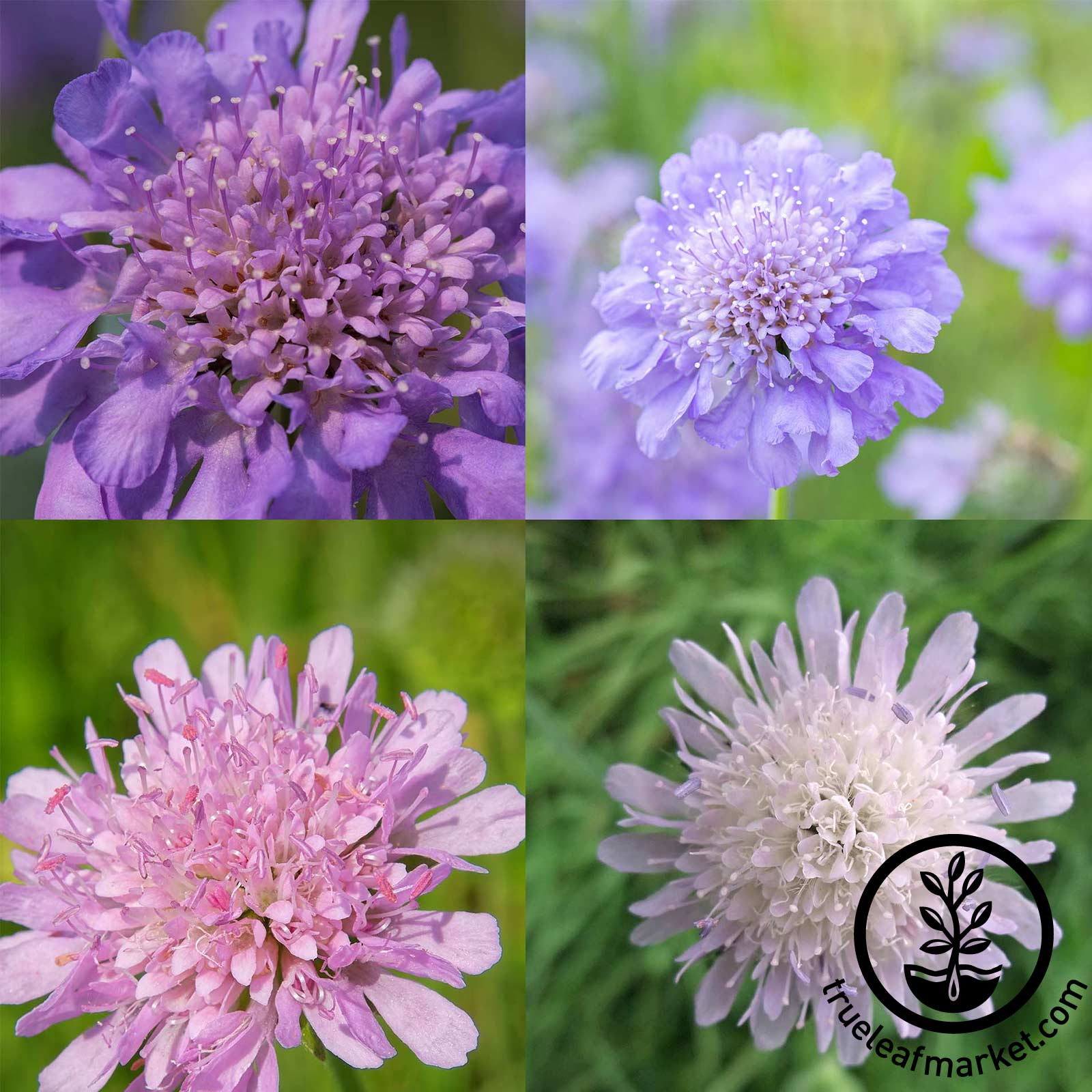 Scabiosa - HiGro Mix Scabiosa seeds, flower seeds, HiGro Mix