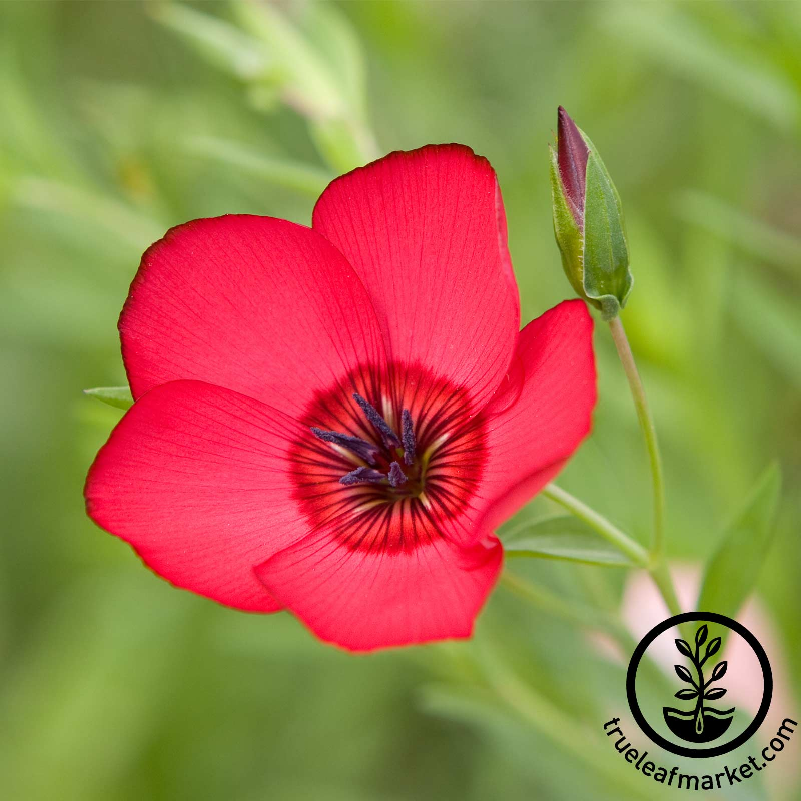 Scarlet Flax Flower Seed