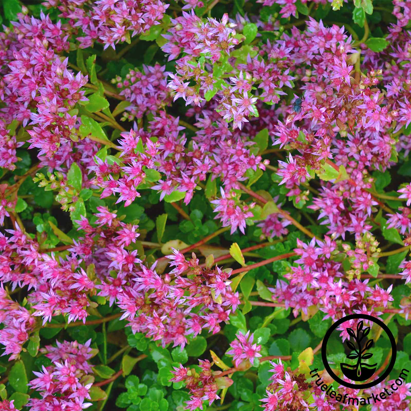 Sedum - Dragon's Blood
