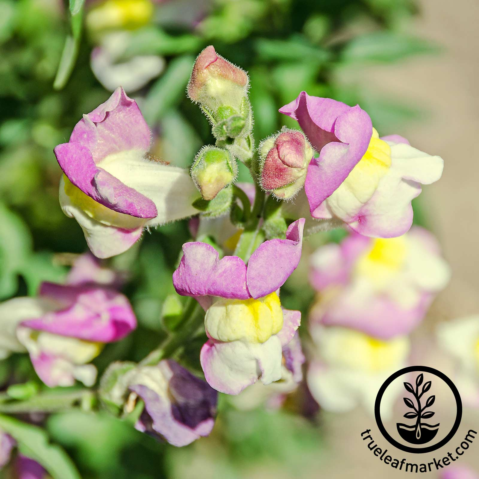 Snapdragon Floral Showers Series Lavender Bicolor Seed