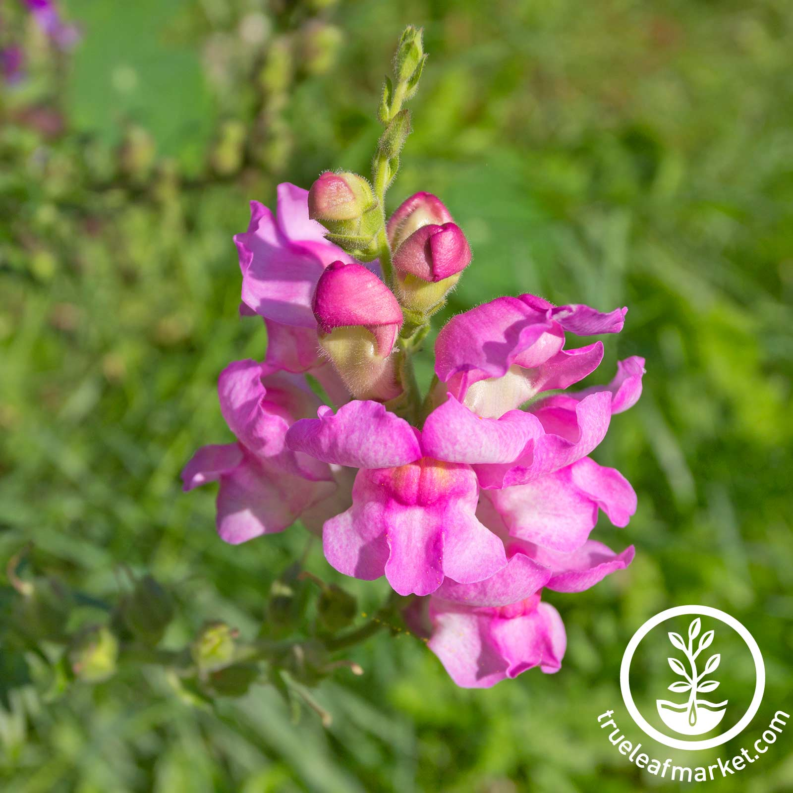 Snapdragon Floral Showers Series Lilac Seed
