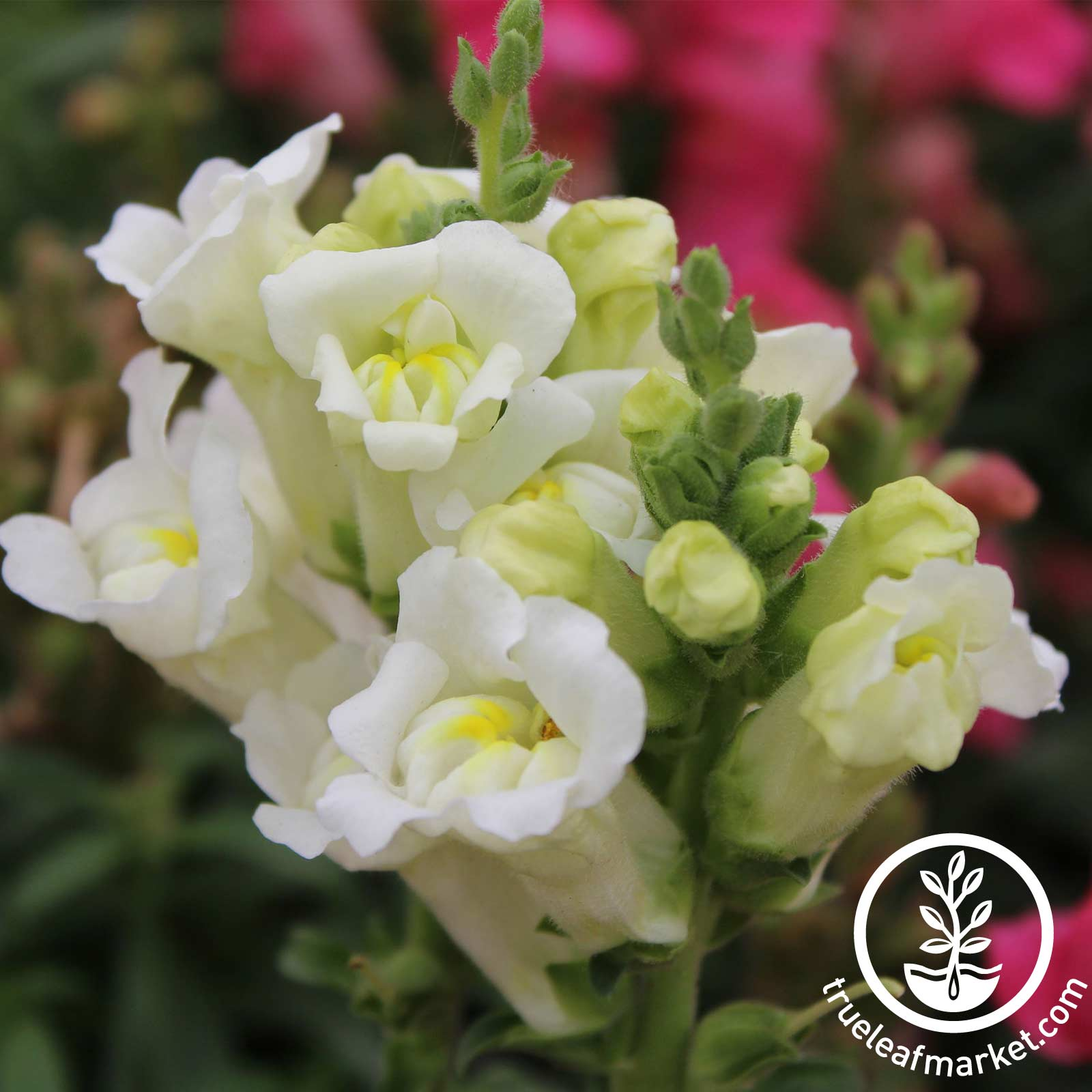 Snapdragon Floral Showers Series White Seed