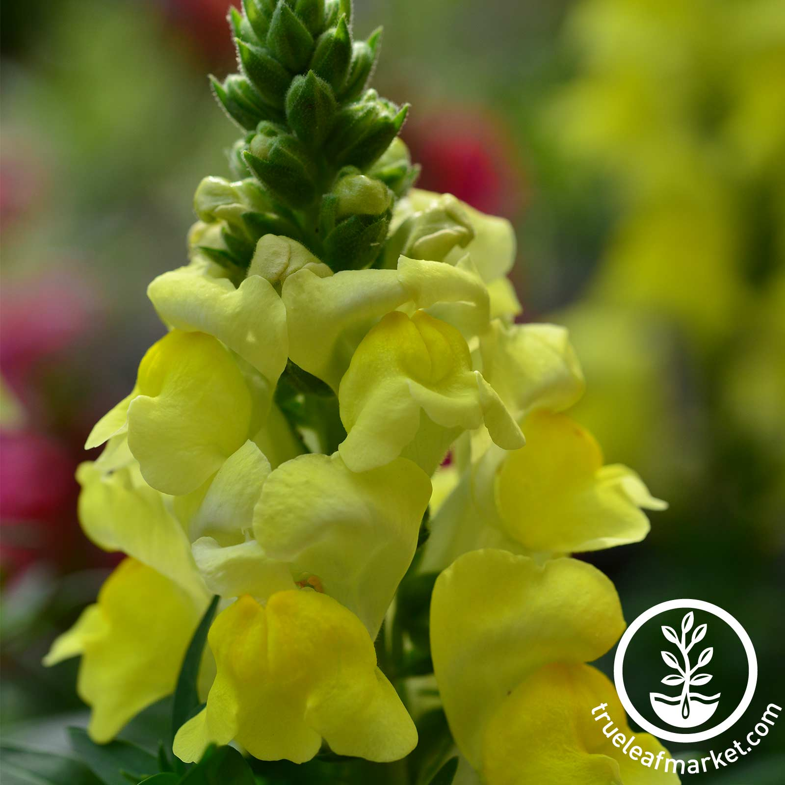 Snapdragon Floral Showers Series Yellow Seed