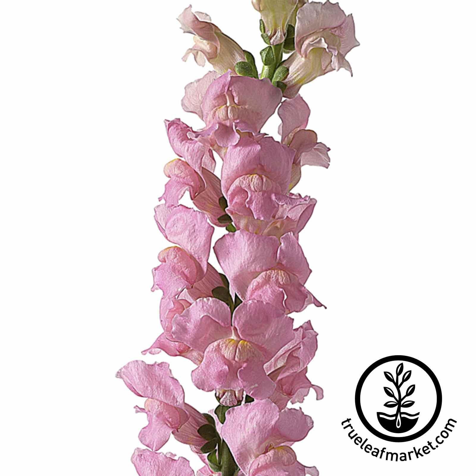 Snapdragon Liberty Classic Series Lavender Seed