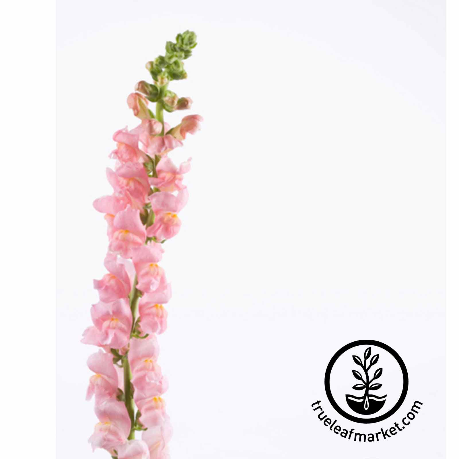 Snapdragon Liberty Classic Series Rose Pink Seed