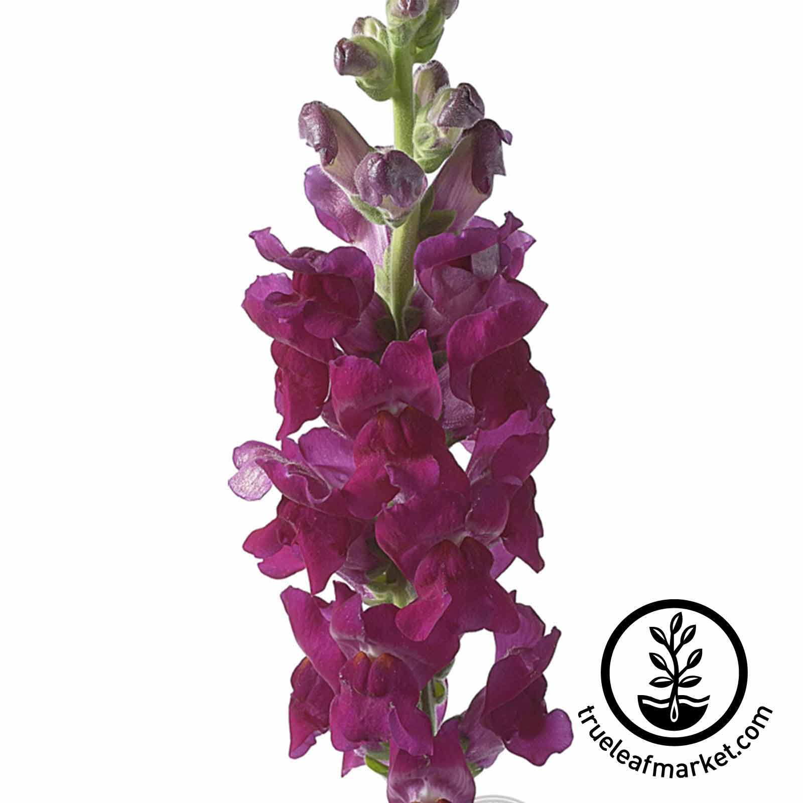 Snapdragon Liberty Classic Series Scarlet Seed