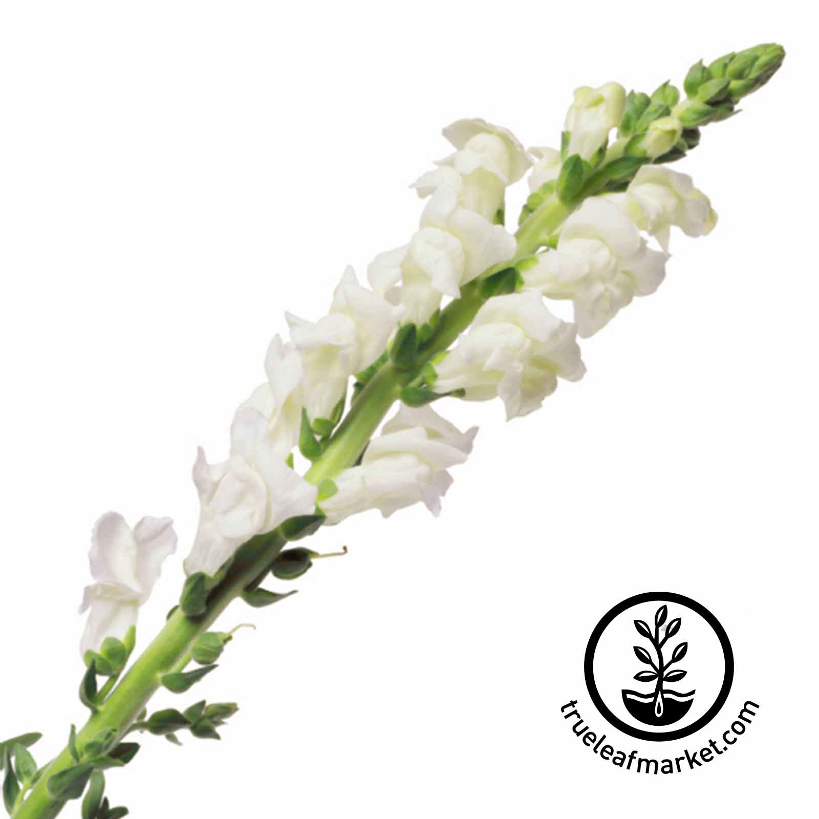 Snapdragon Liberty Classic Series White Seed