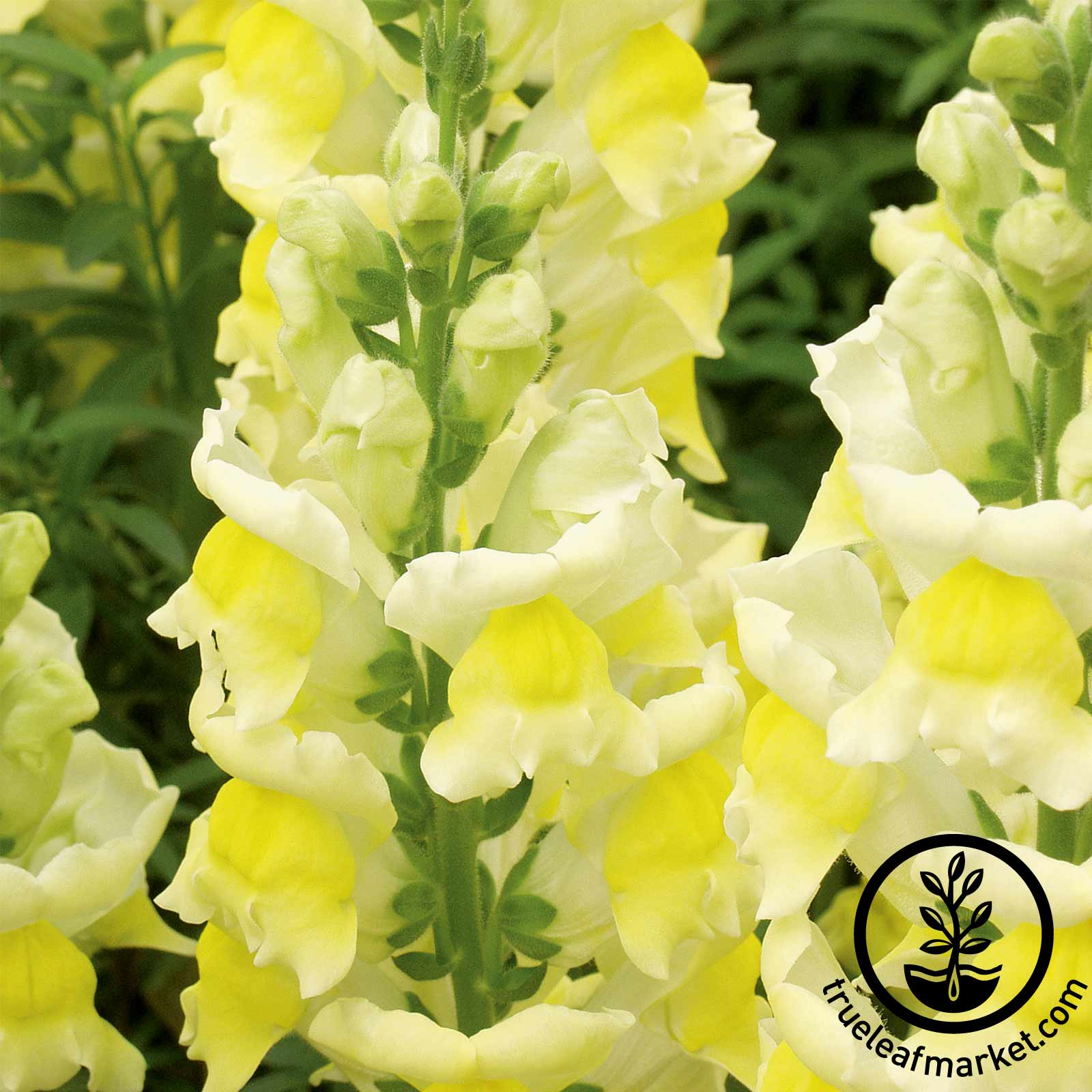 Snapdragon Liberty Classic Series Yellow Seed