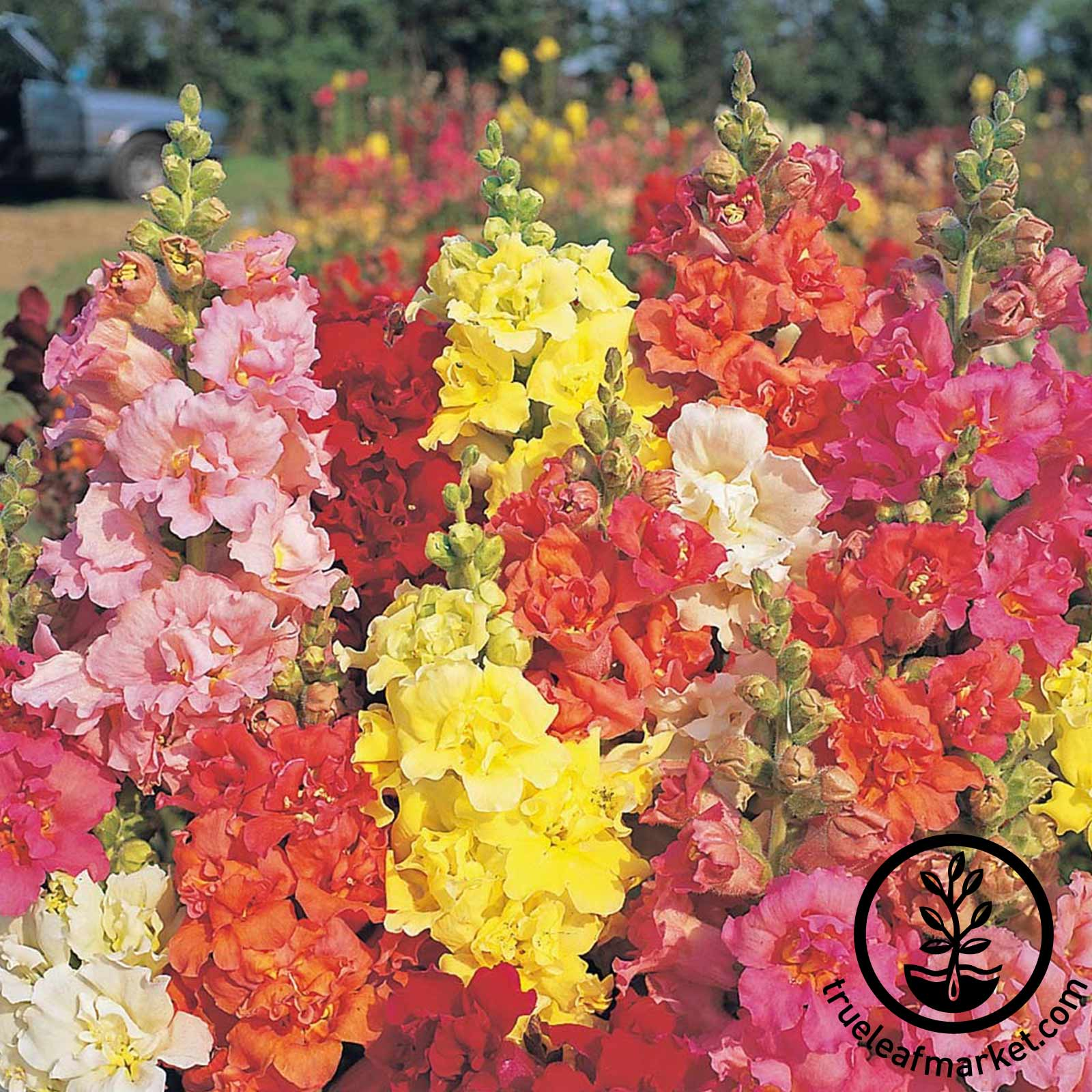 Snapdragon Madame Butterfly Mixture Seeds