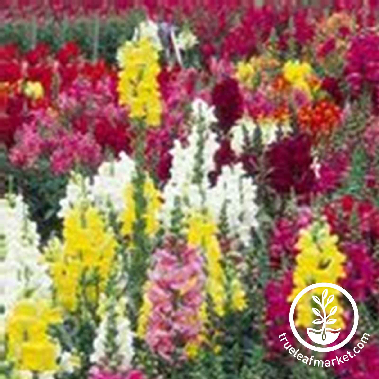 Snapdragon Maximum Mix Seeds