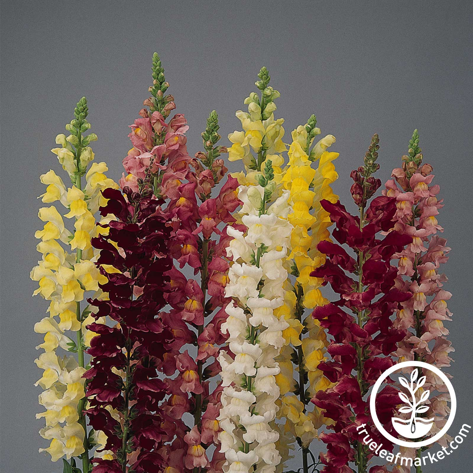Snapdragon Rocket Series Mix Seeds