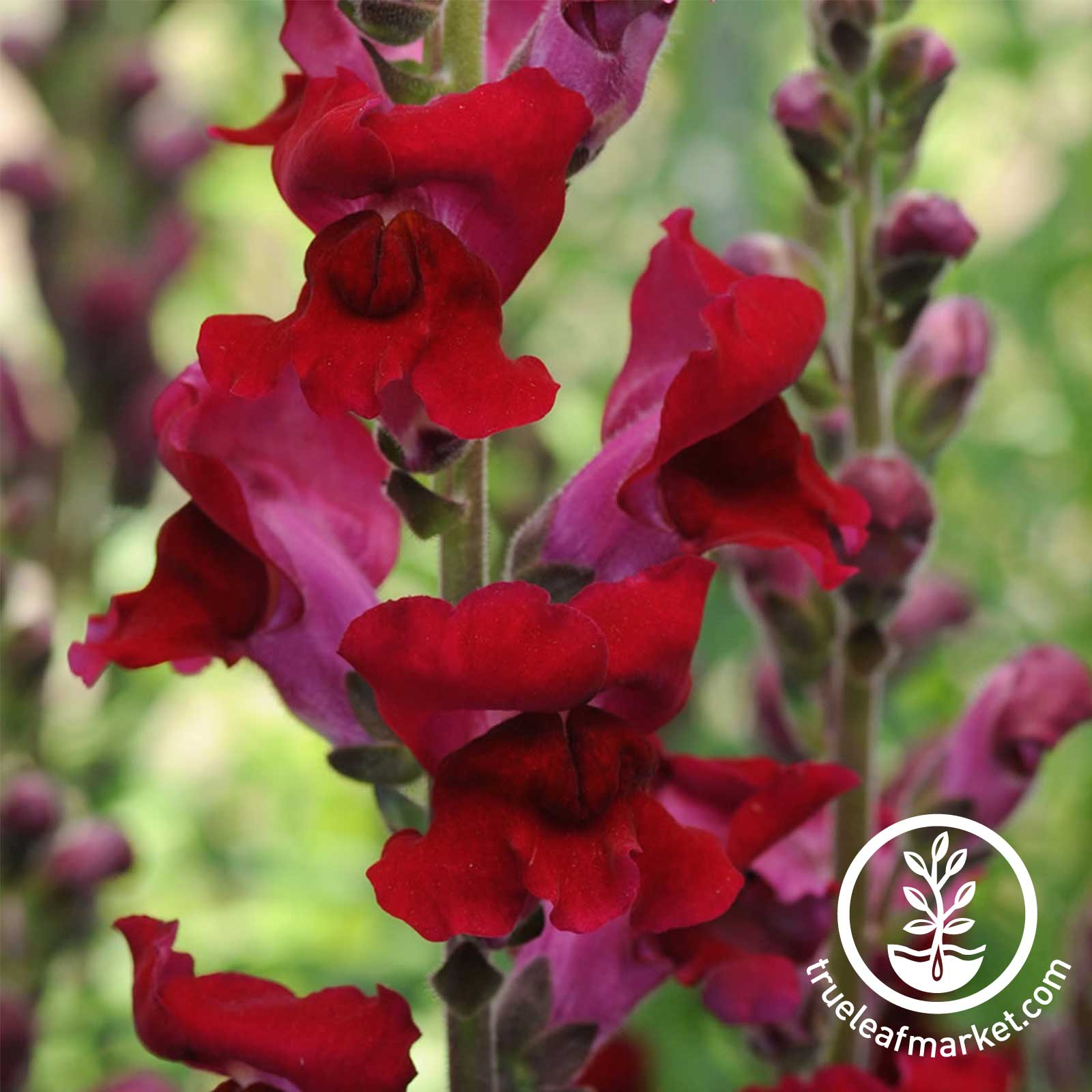 Snapdragon Rocket Series Red Seed
