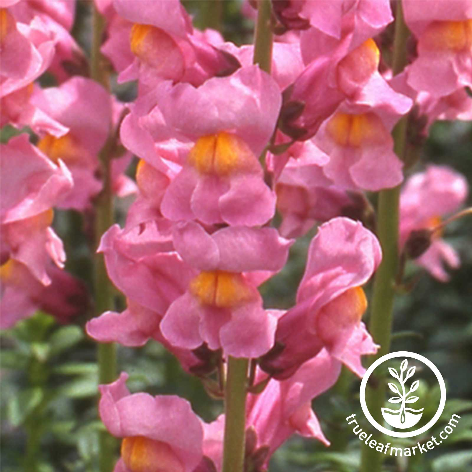Snapdragon Rocket Series Rose Seed