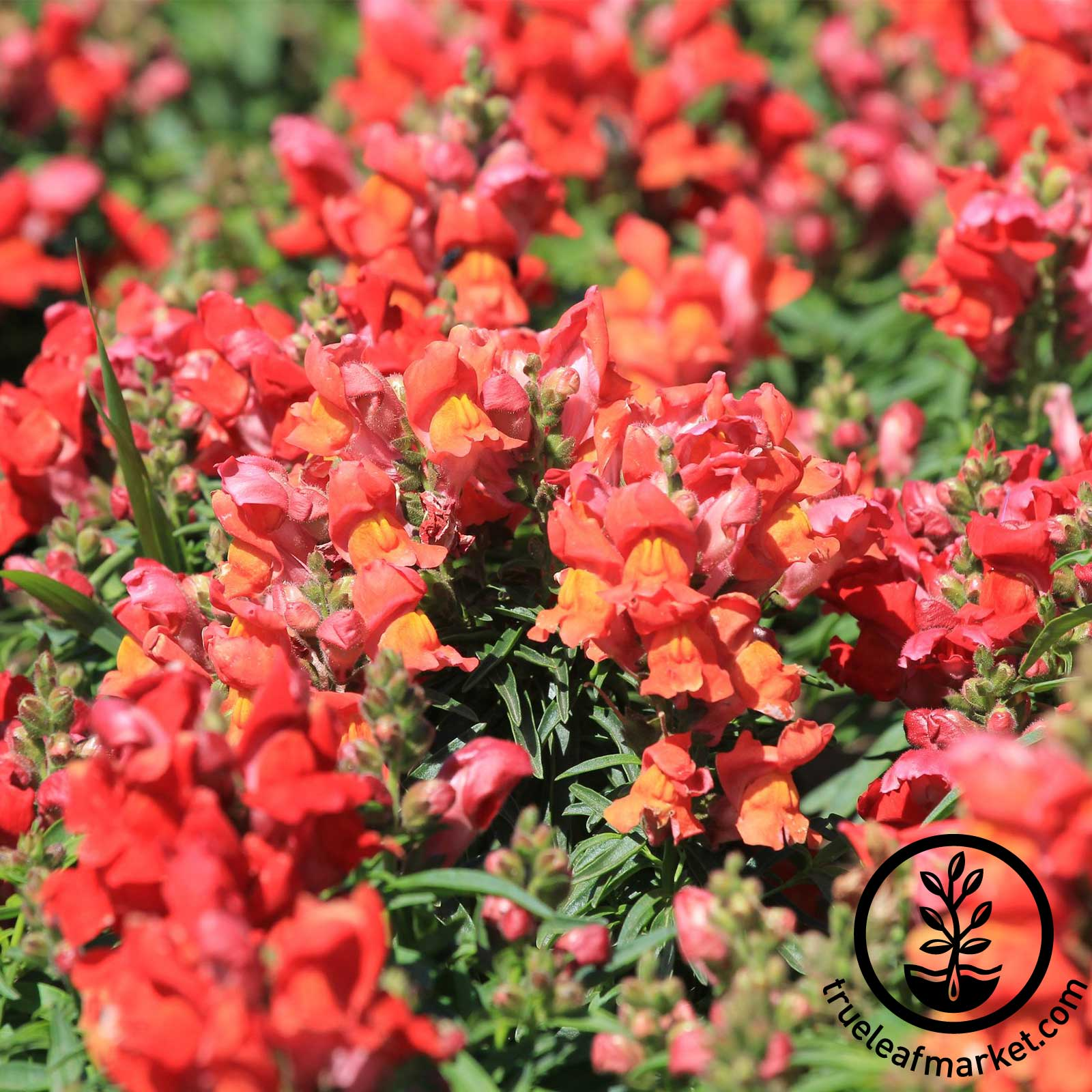 Snapdragon Sonnet Series Bronze Seed