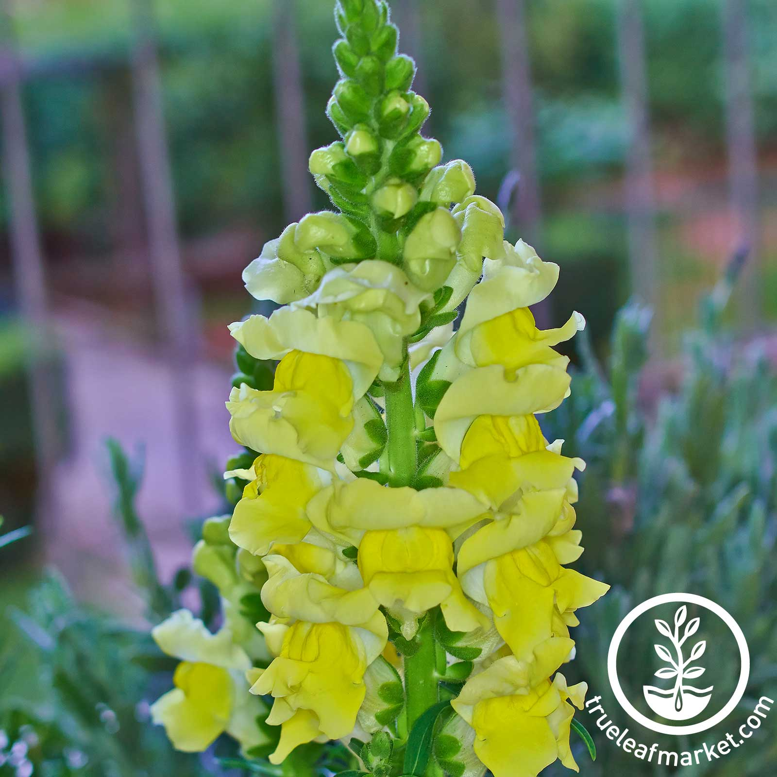 Snapdragon Sonnet Series Yellow Seed