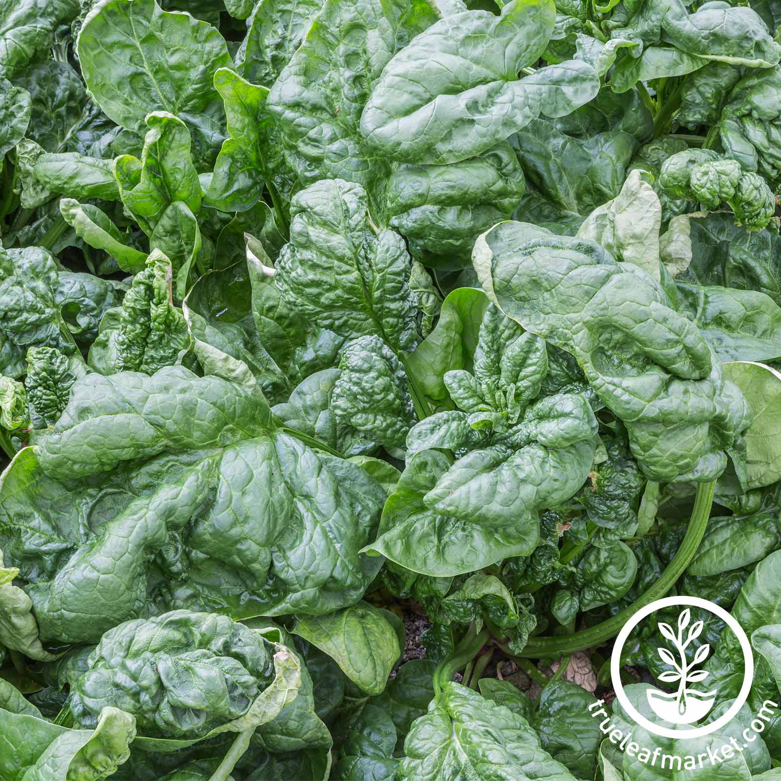 Organic Spinach Bloomsdale Long Standing Seed
