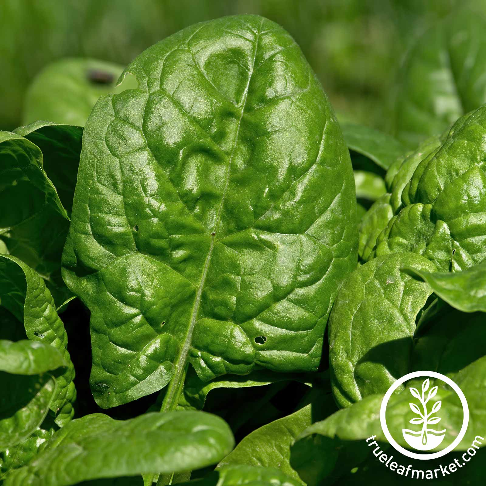 Spinach Giant Nobel Garden Seeds