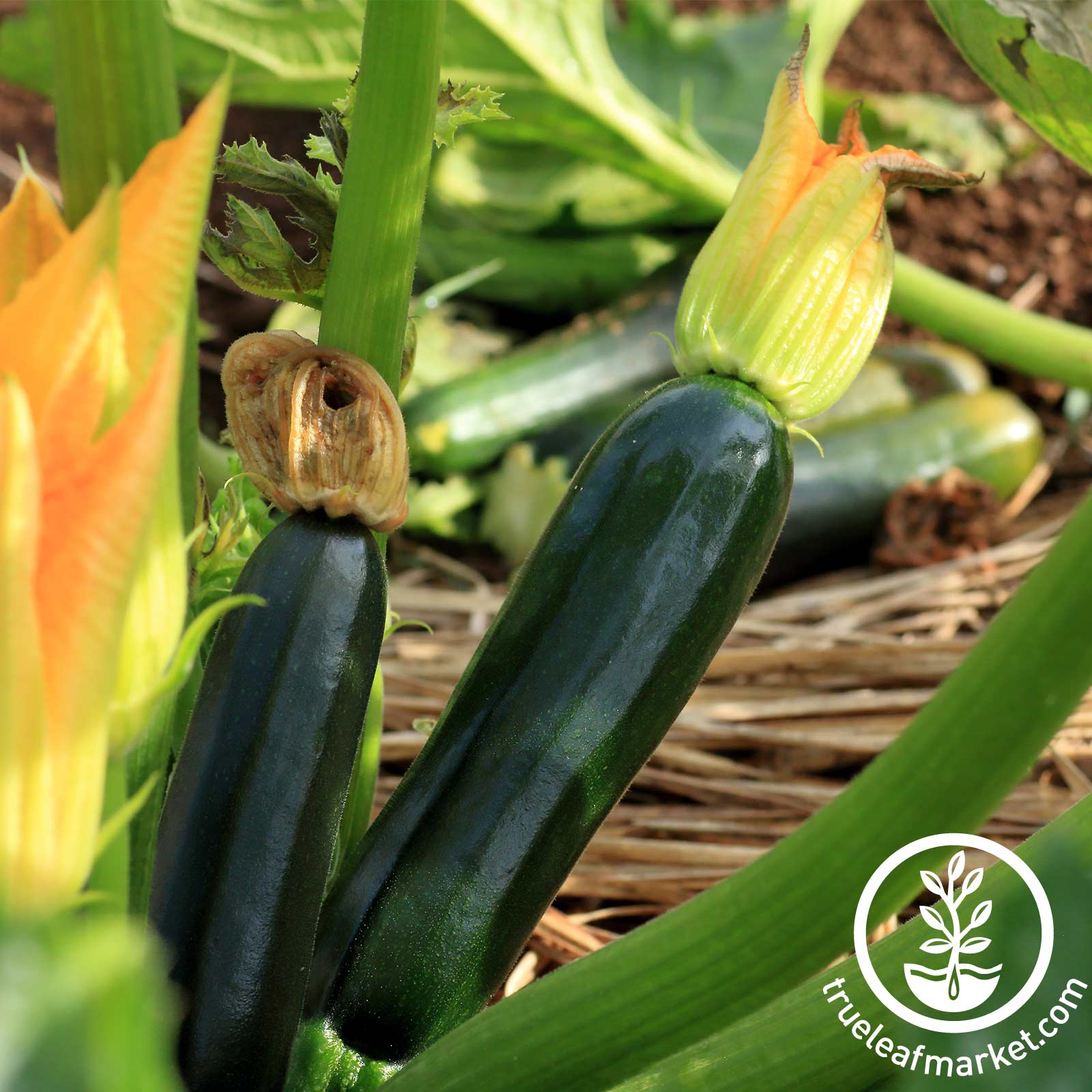 Squash Summer Zucchini Black Beauty Seed