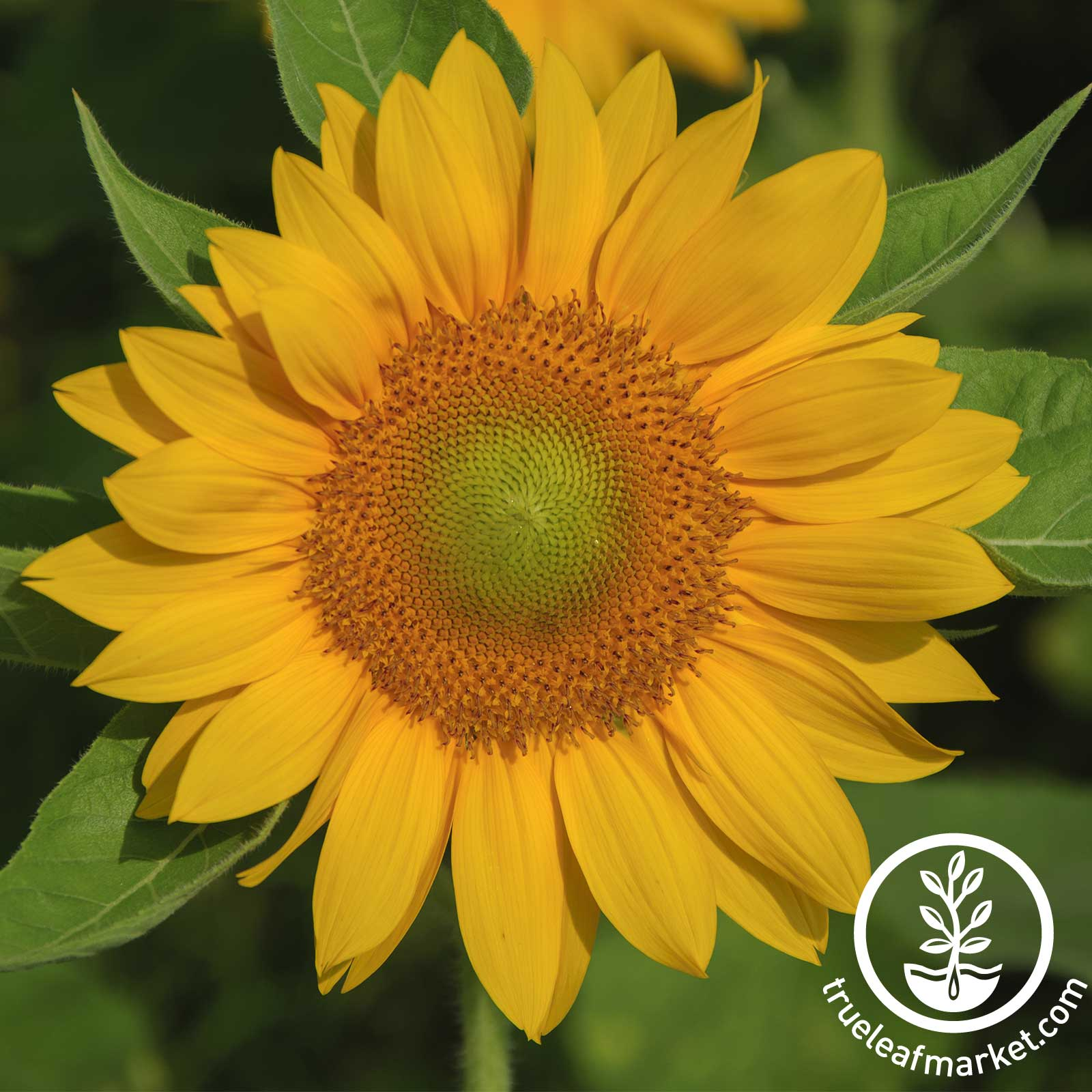 Gold Pro Cut Sunflower