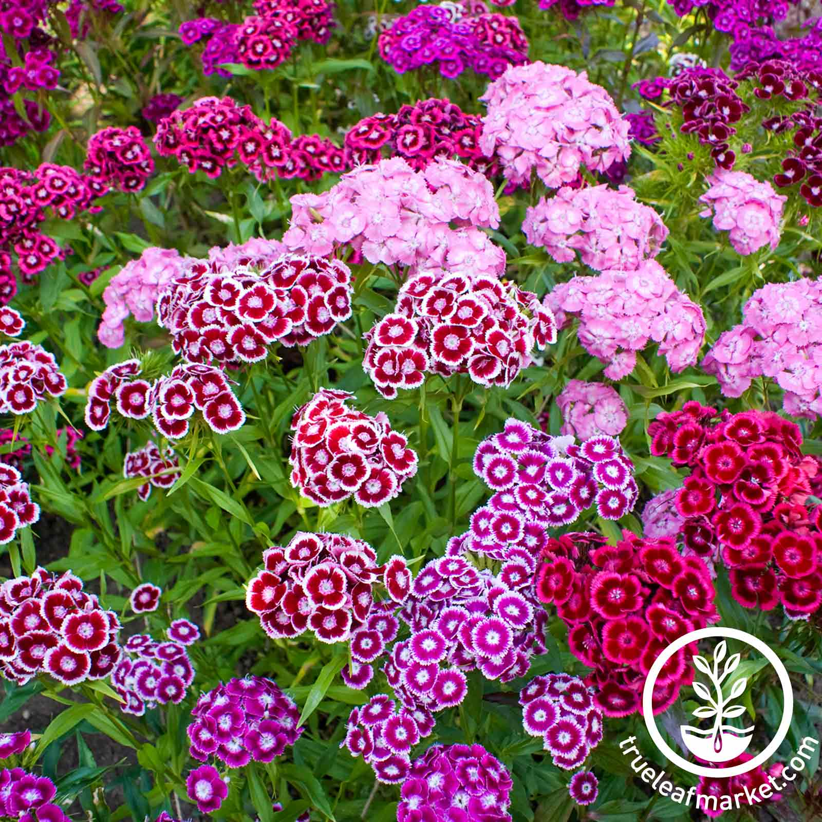 Double Mixture Sweet William
