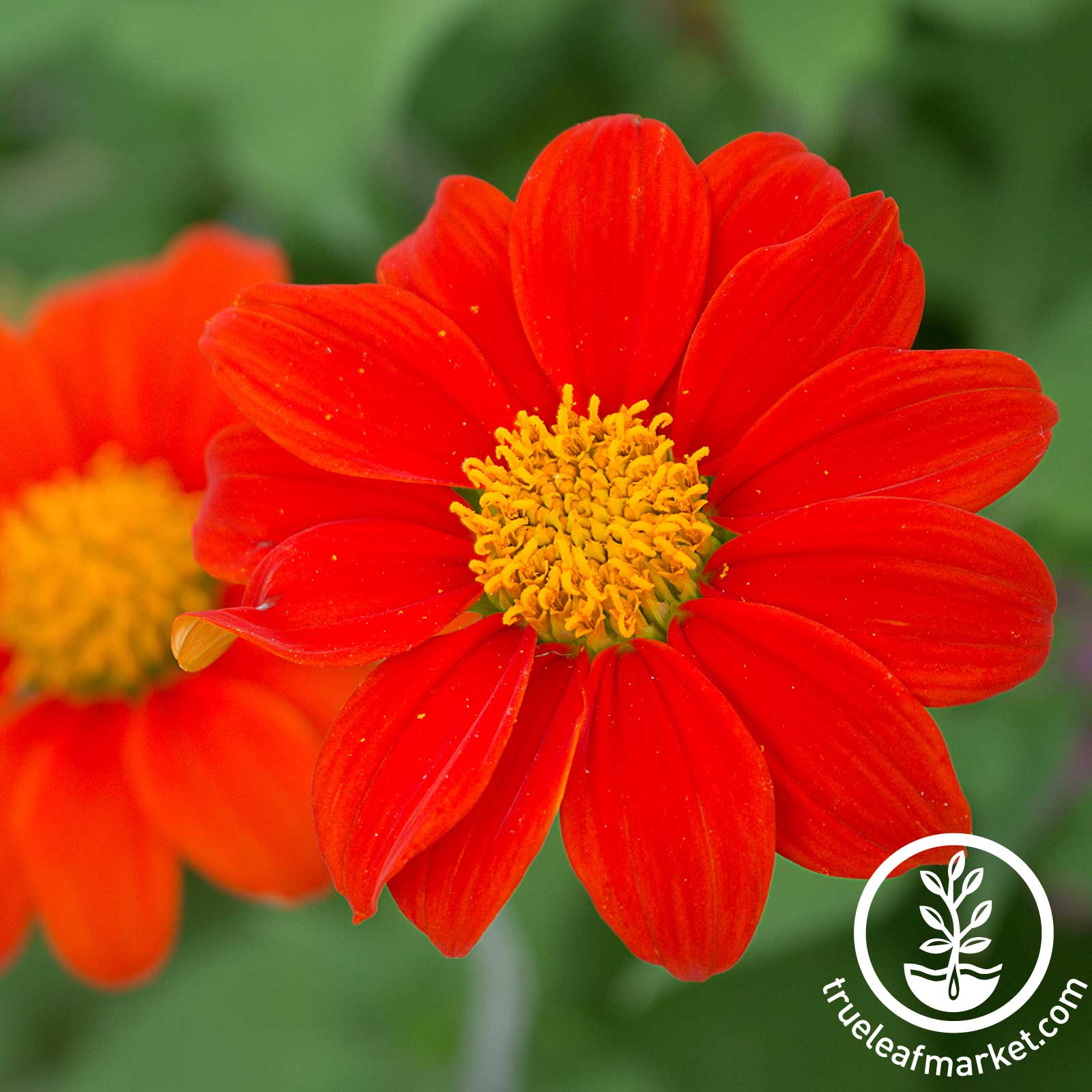Tithonia Goldfinger Seed