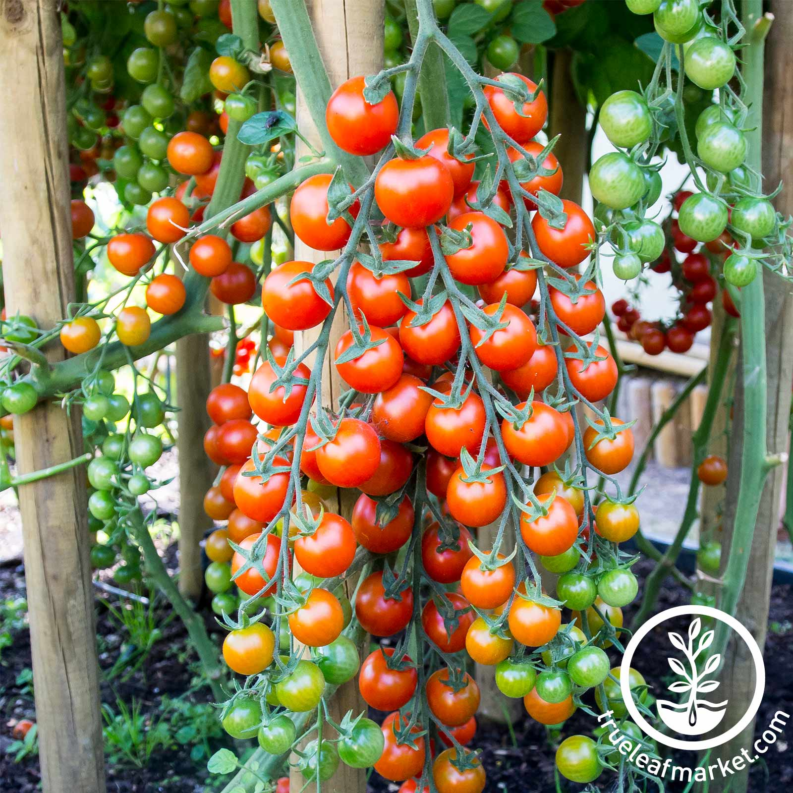 Tomato - Supersweet 100 Hybrid