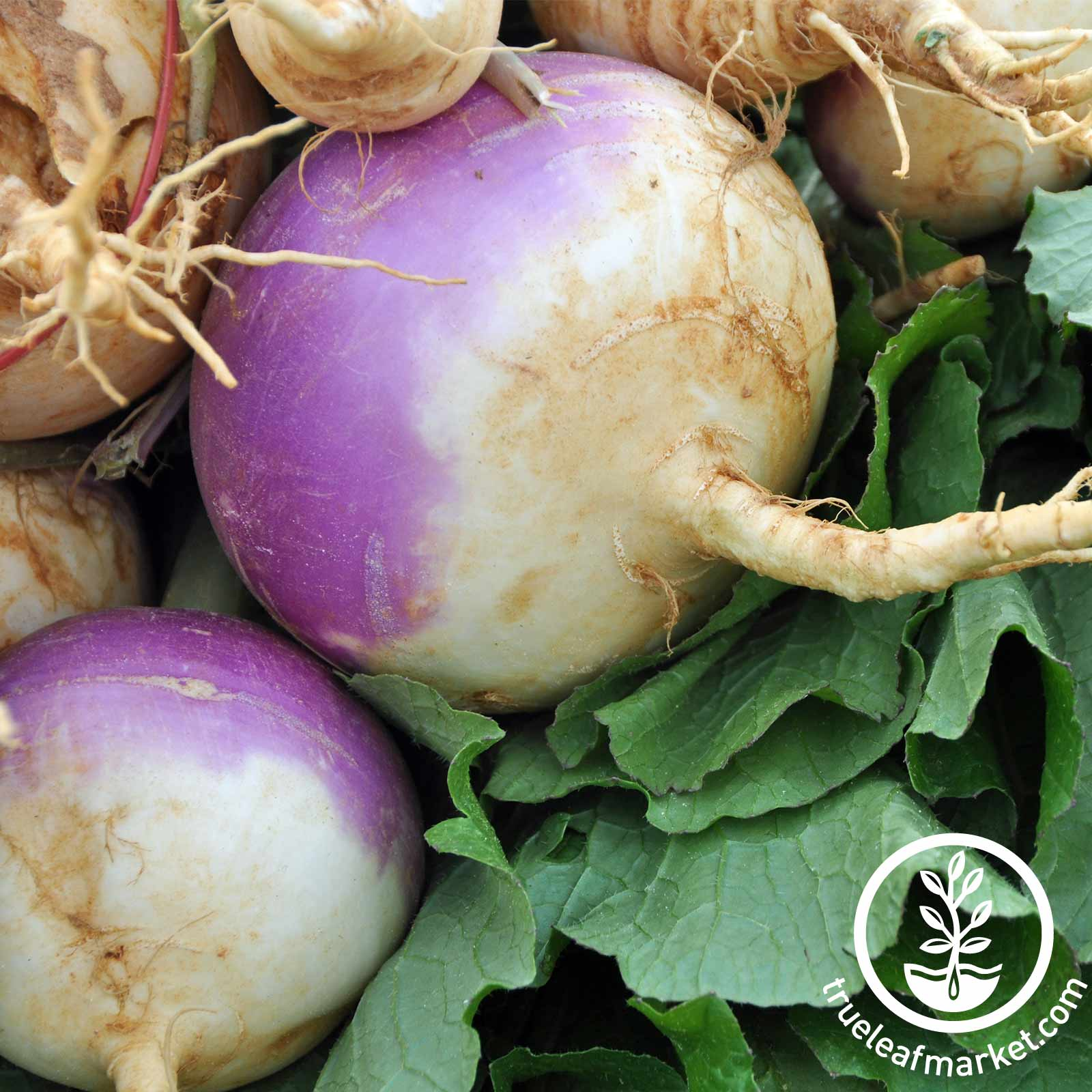 Turnip Purple Top White Globe Seed