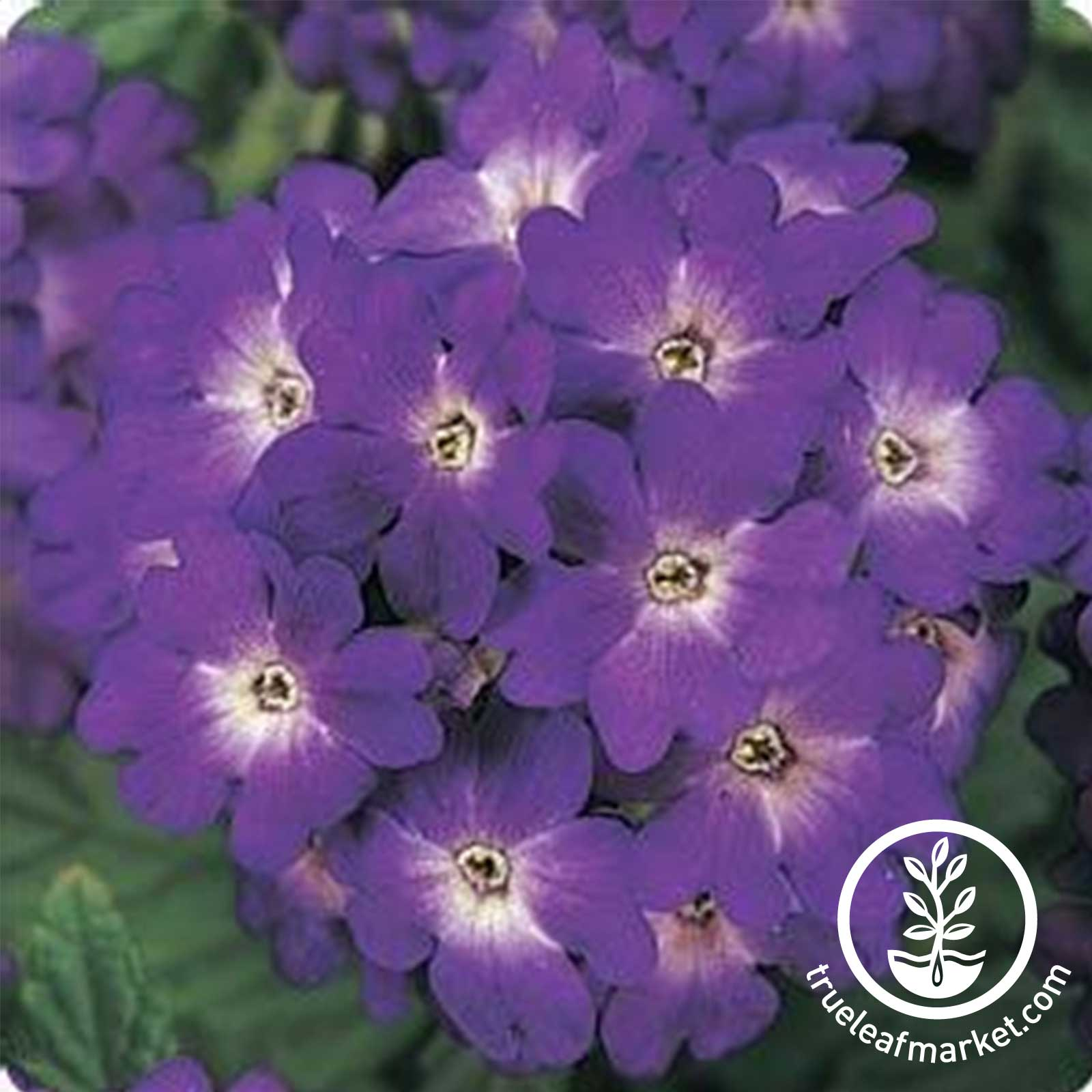 Verbena Quartz XP Series Blue Seed