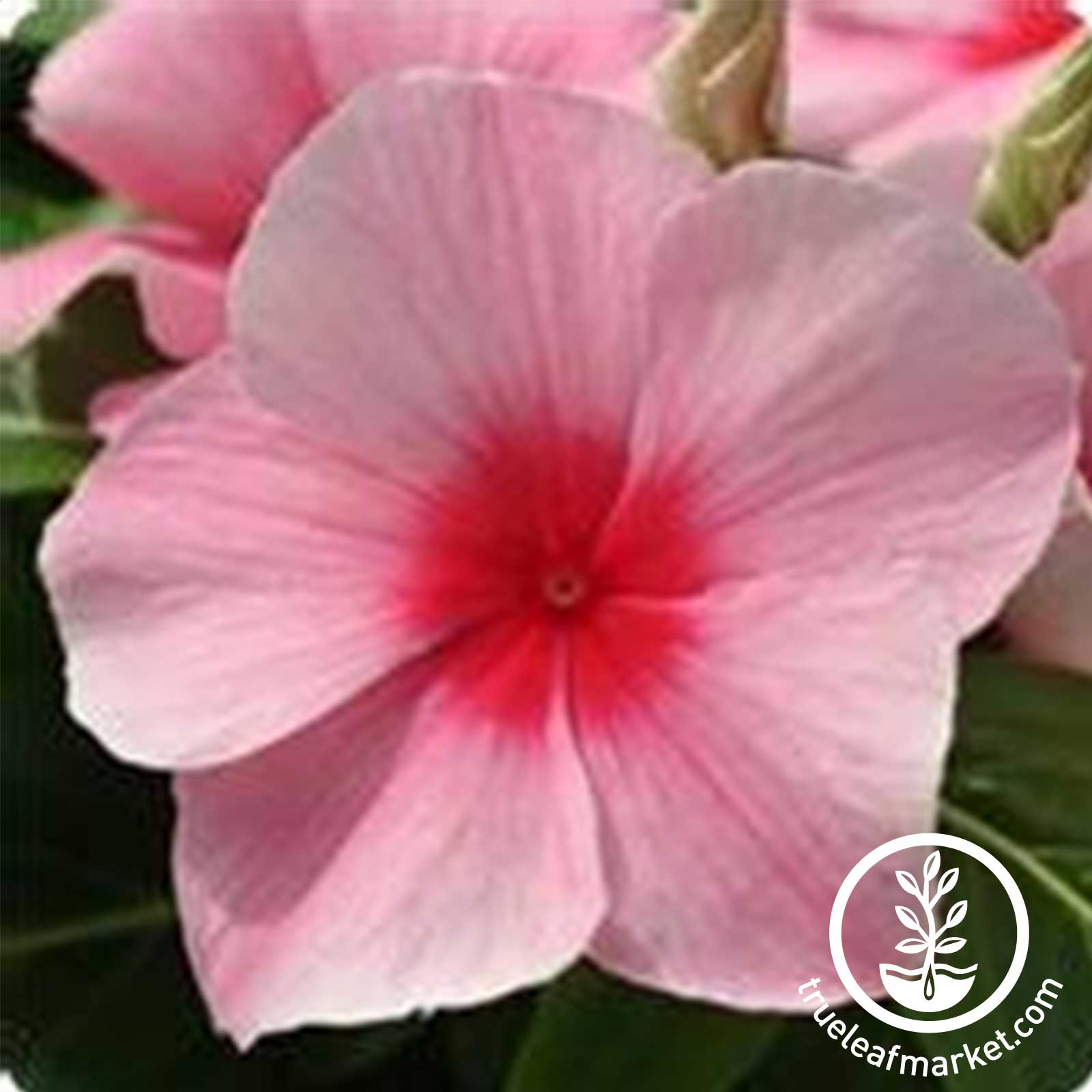 Vinca - Mediterranean XP Series - Strawberry