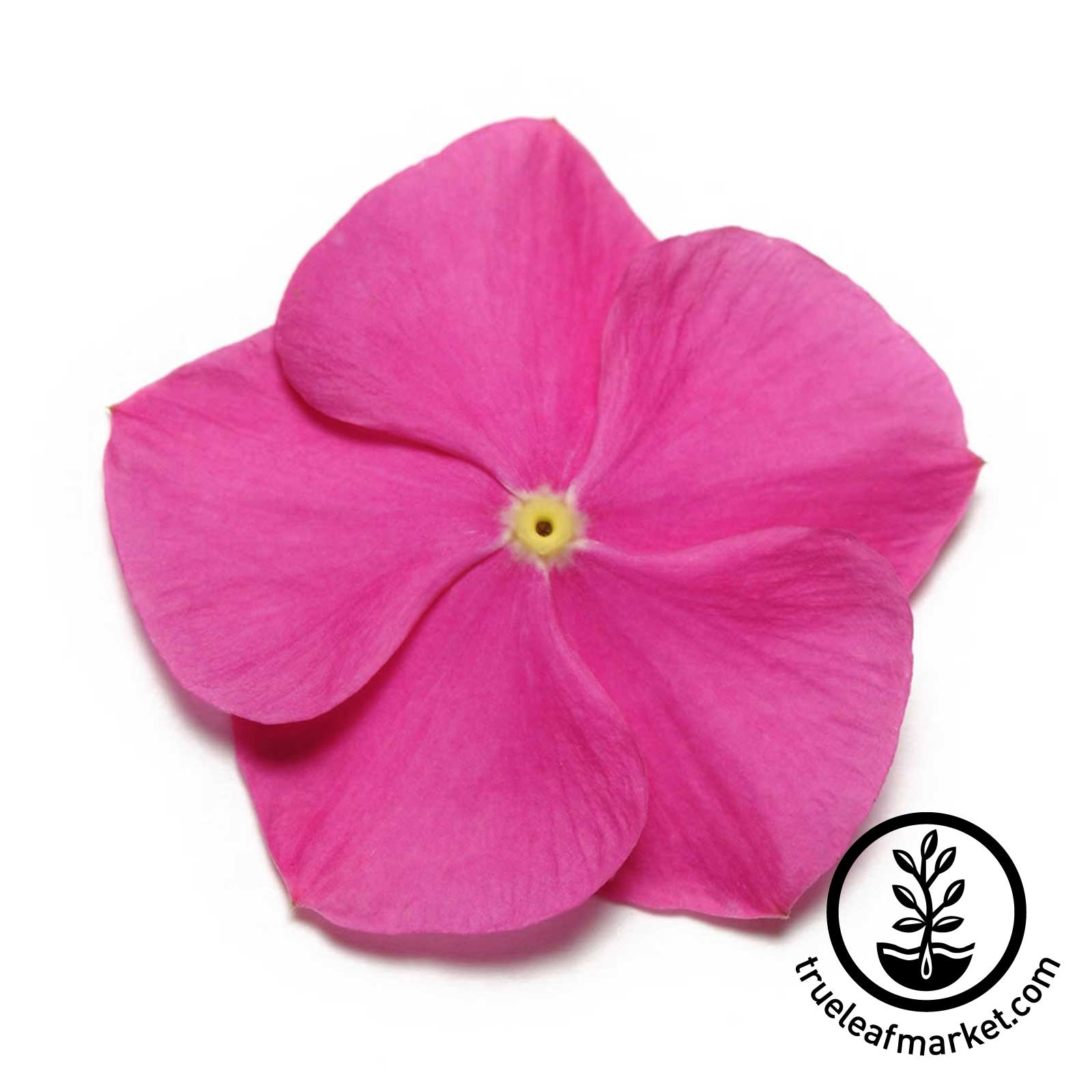 Vinca Pacifica XP Series Deep Orchid Seed