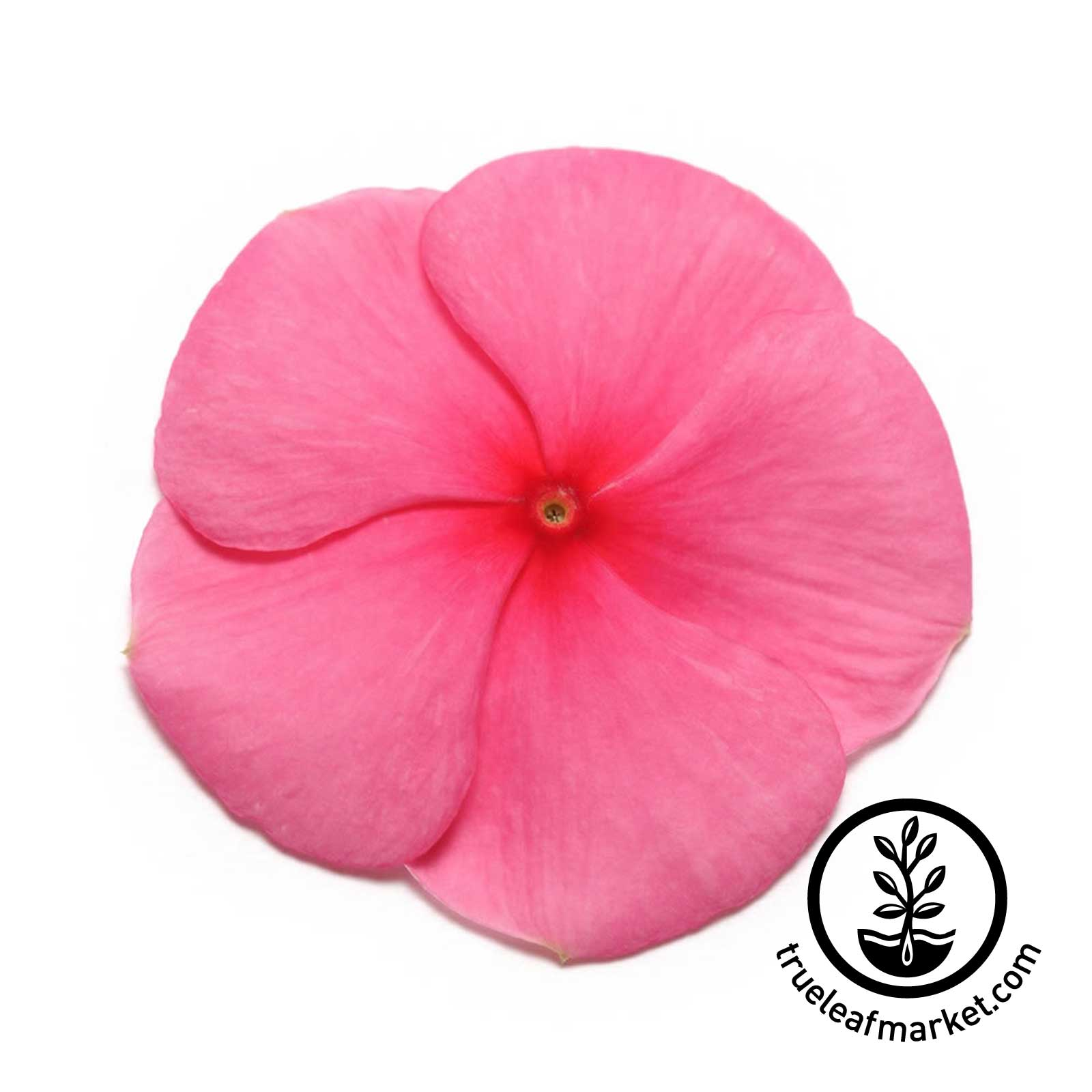 Vinca Pacifica XP Series Punch Seed