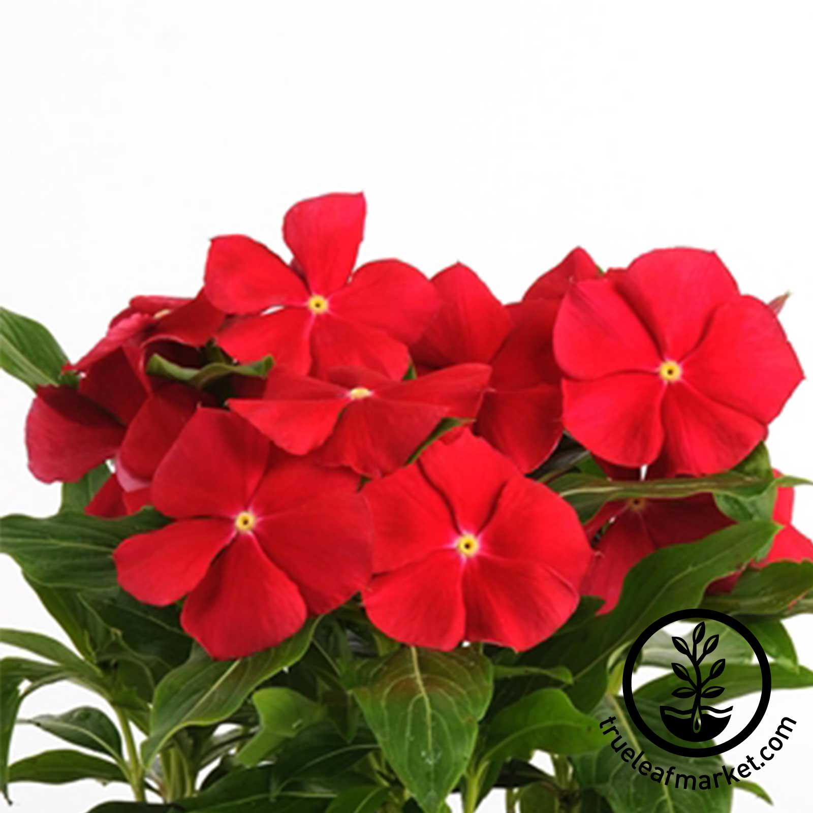 Vinca - Pacifica XP Series - Really Red
